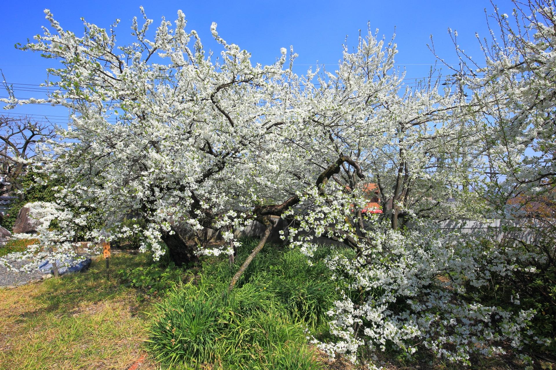 上品蓮台寺の多種多様な桜