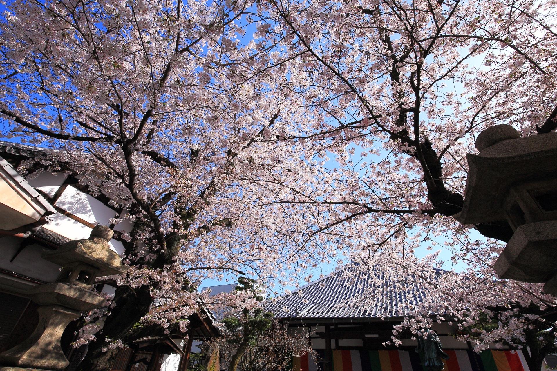 墨染寺の本堂をつつむ圧巻の桜