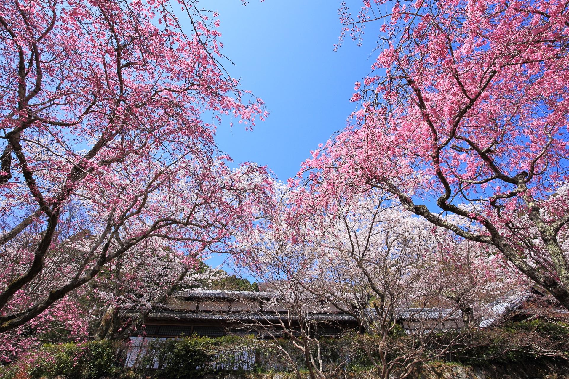 美しすぎる春色に染まる勝持寺の桜ヶ丘