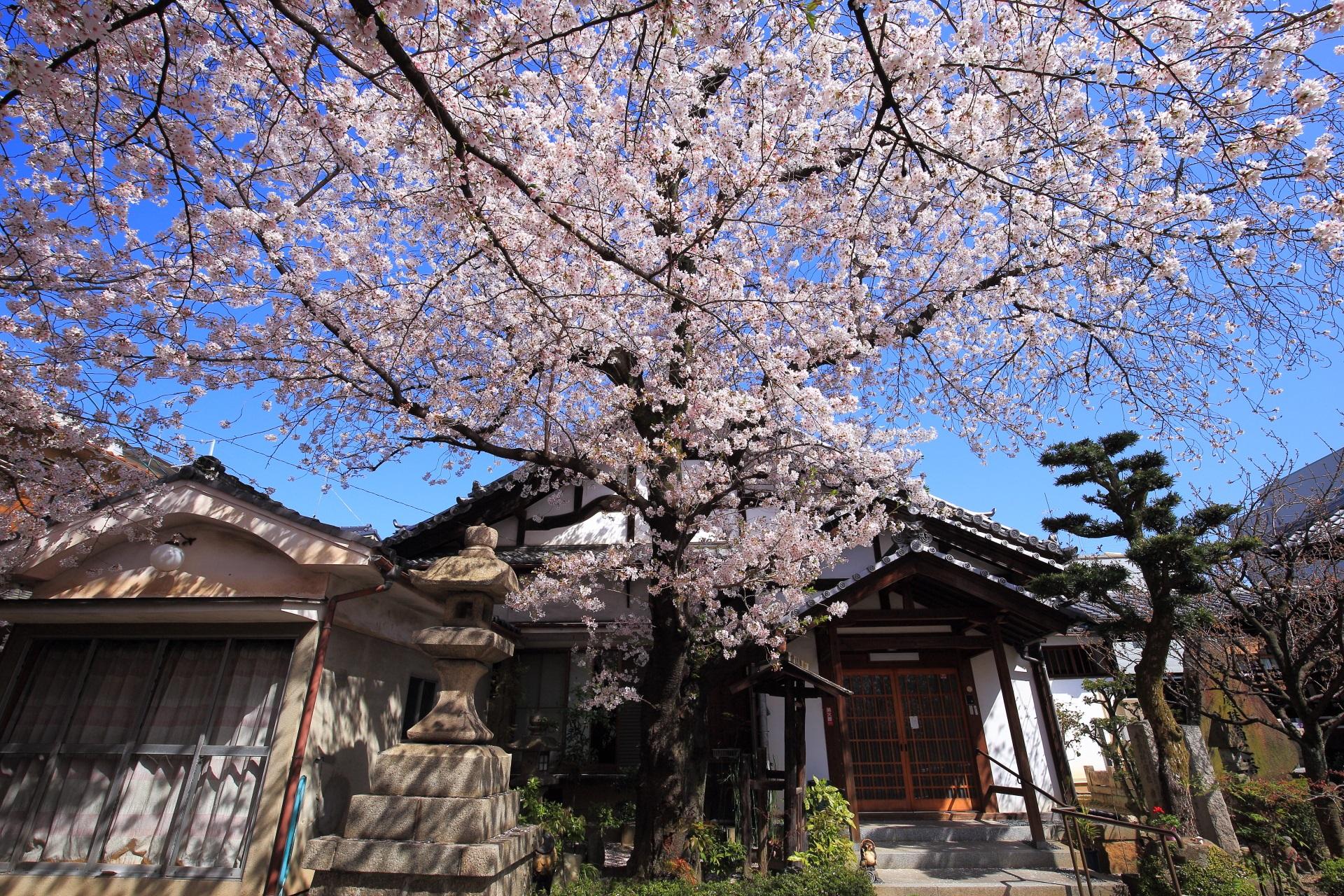 墨染寺の庫裡前の空を覆う煌びやかな桜