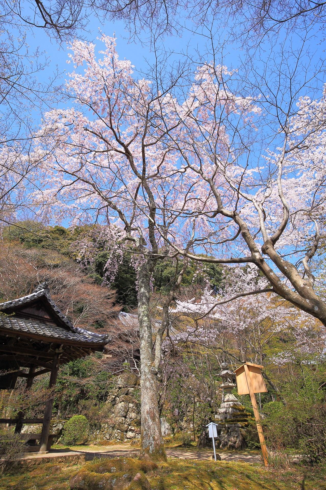 鐘楼と境内を彩る満開の西行桜