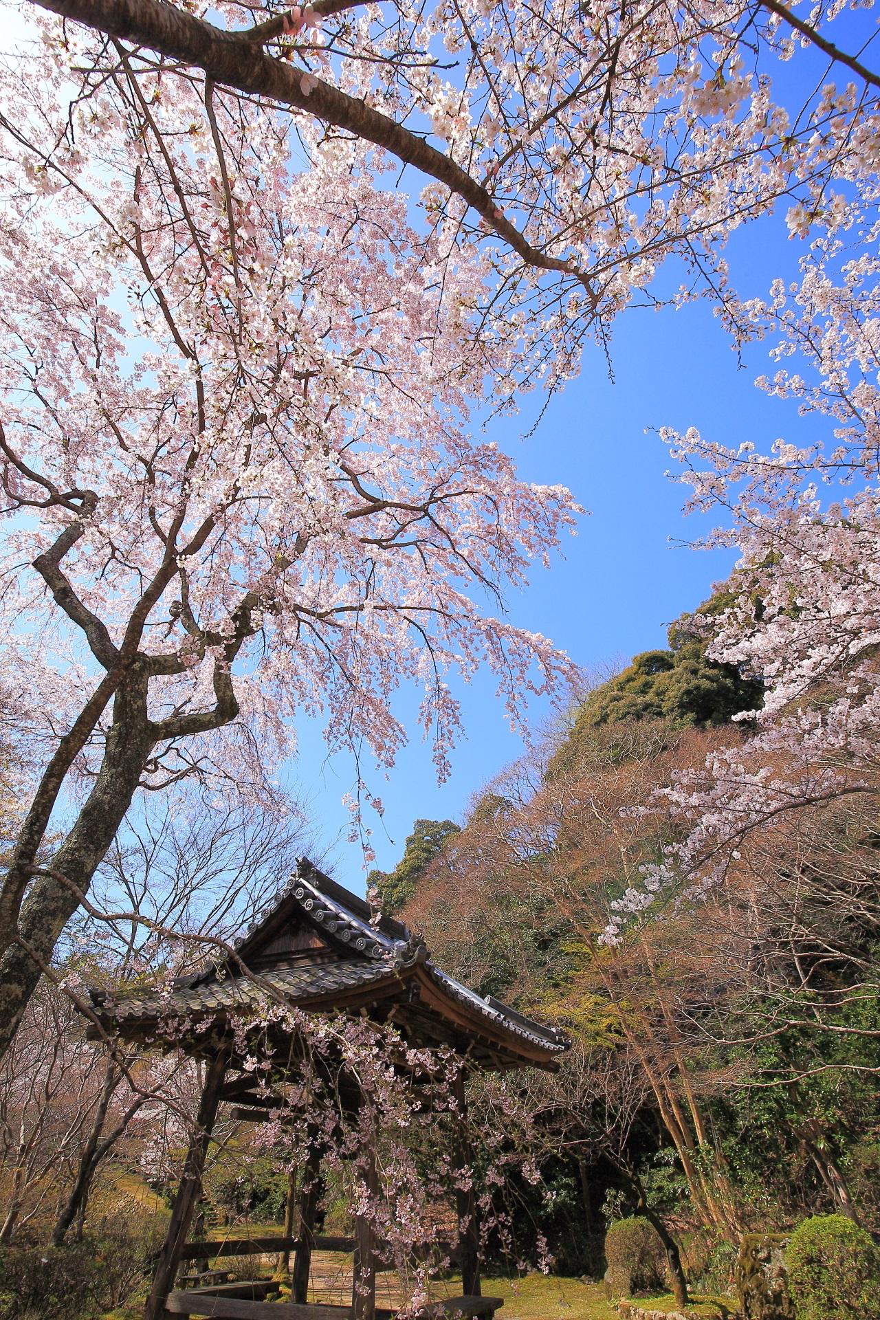 勝持寺の素晴らしい西行桜や春色の情景