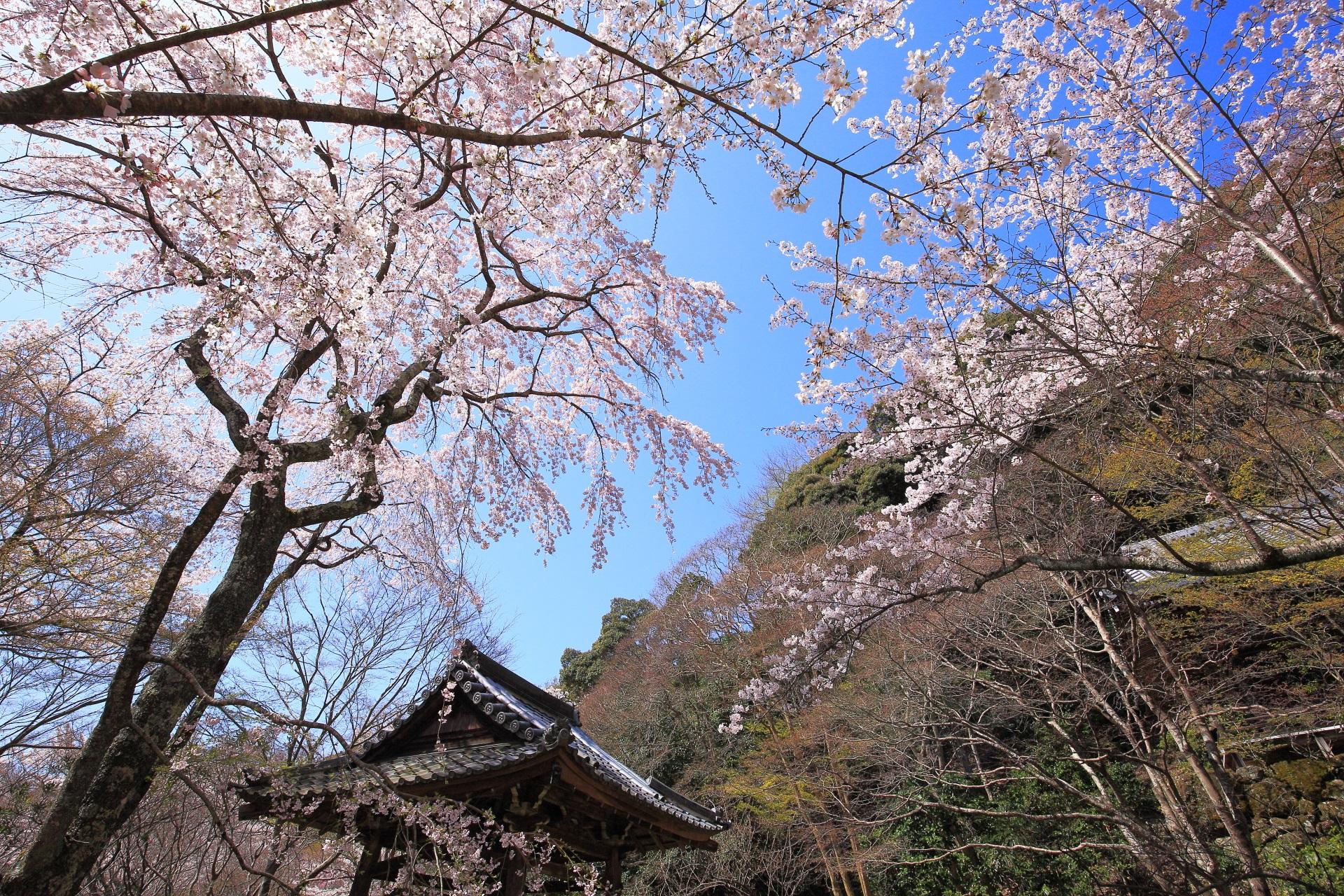 勝持寺の煌びやかな西行桜に染まる青空
