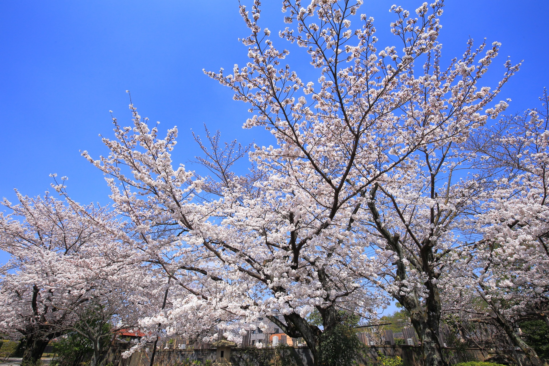 高画質 上品蓮台寺 桜 写真