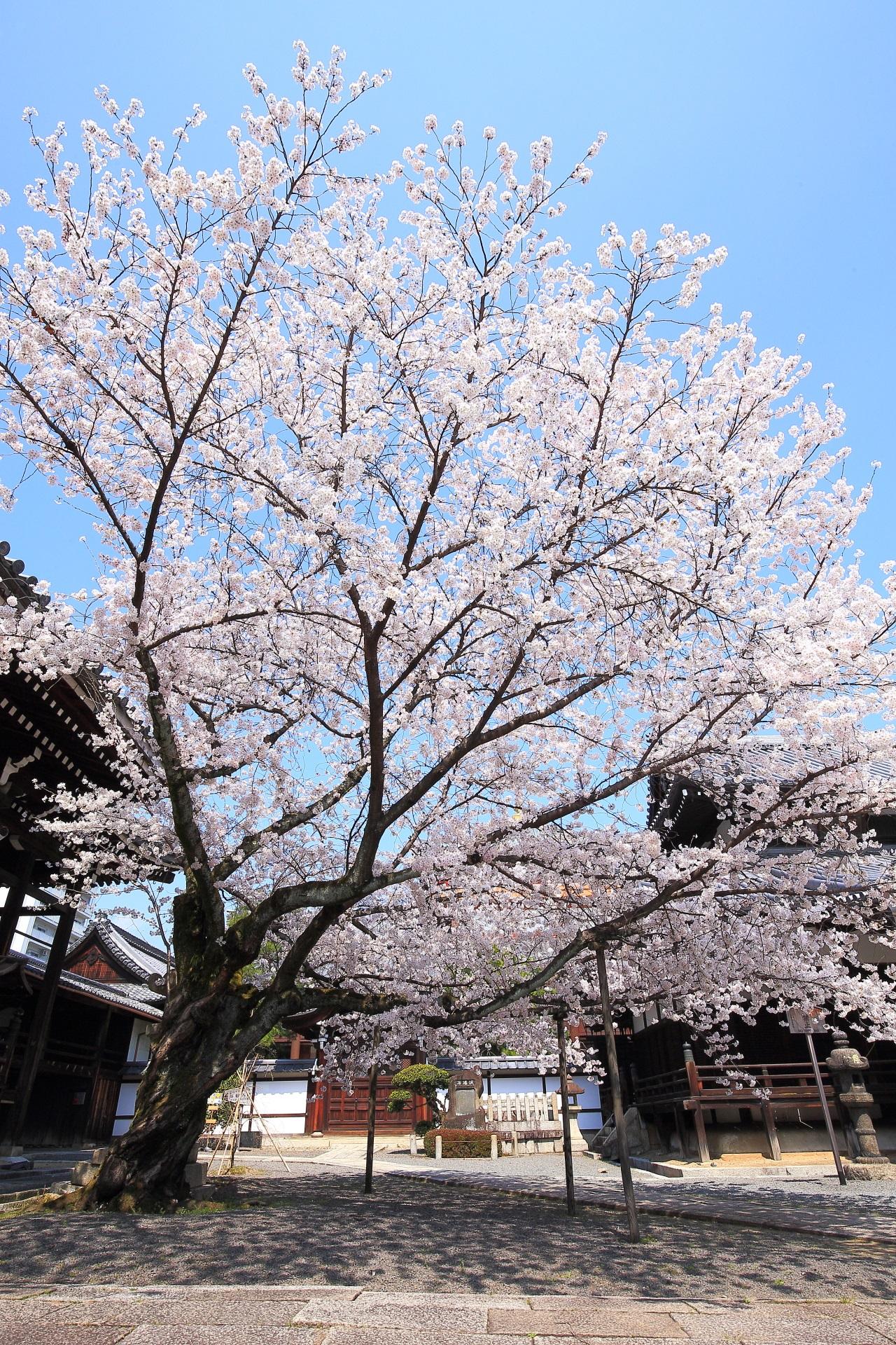 本法寺の素晴らしすぎる桜と春の情景