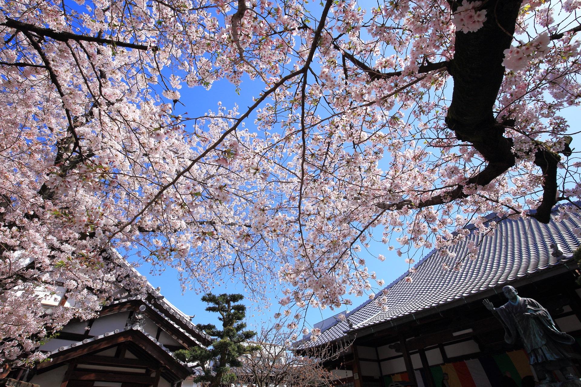 墨染寺の日蓮上人像と桜