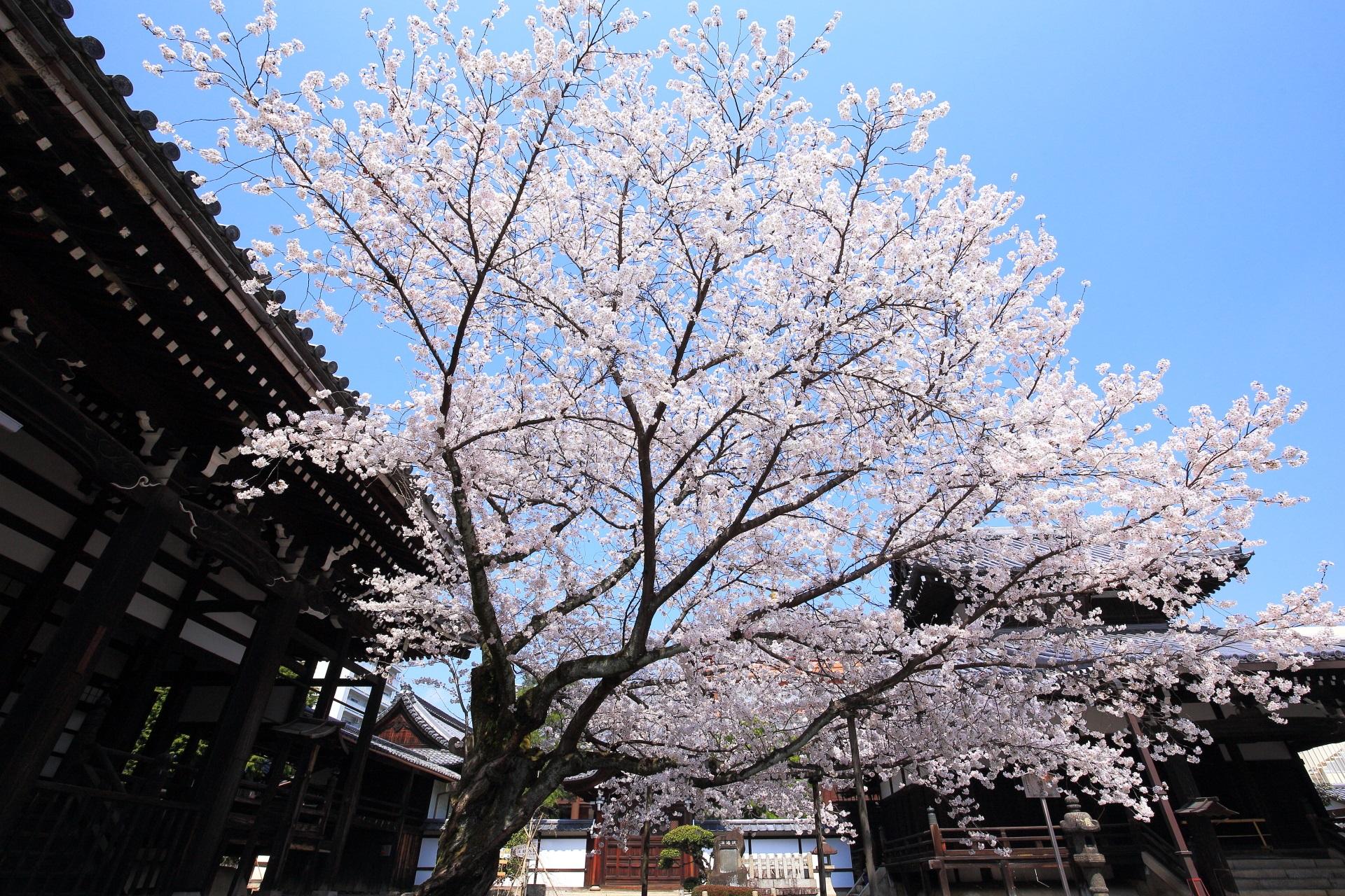 本法寺 桜