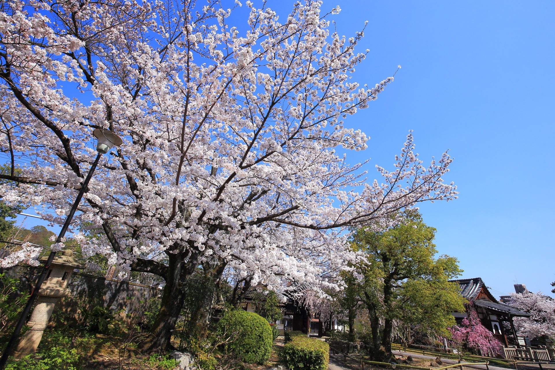 上品蓮台寺 桜 華やかな春色に染まる桜の名所