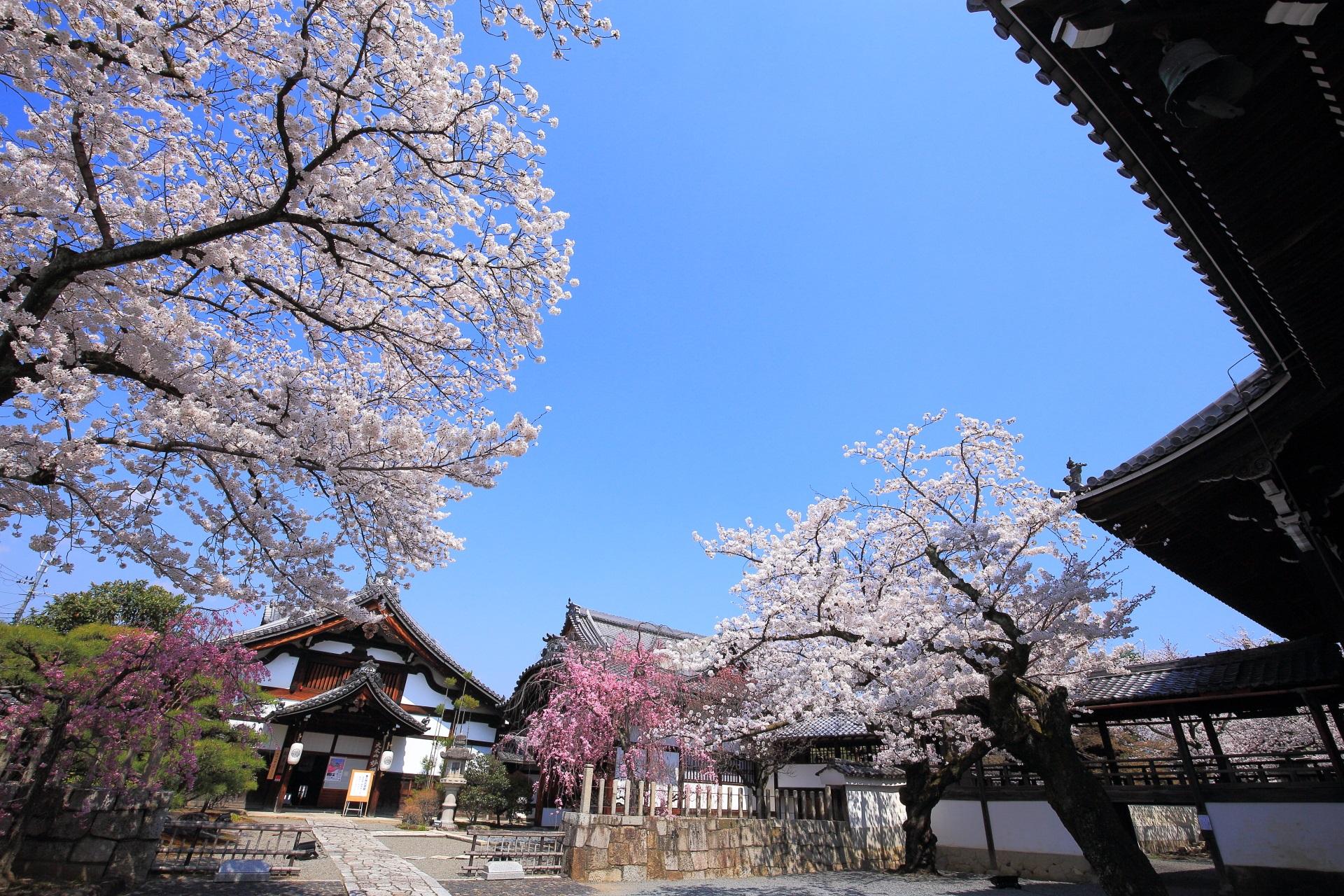 妙顕寺の煌く桜