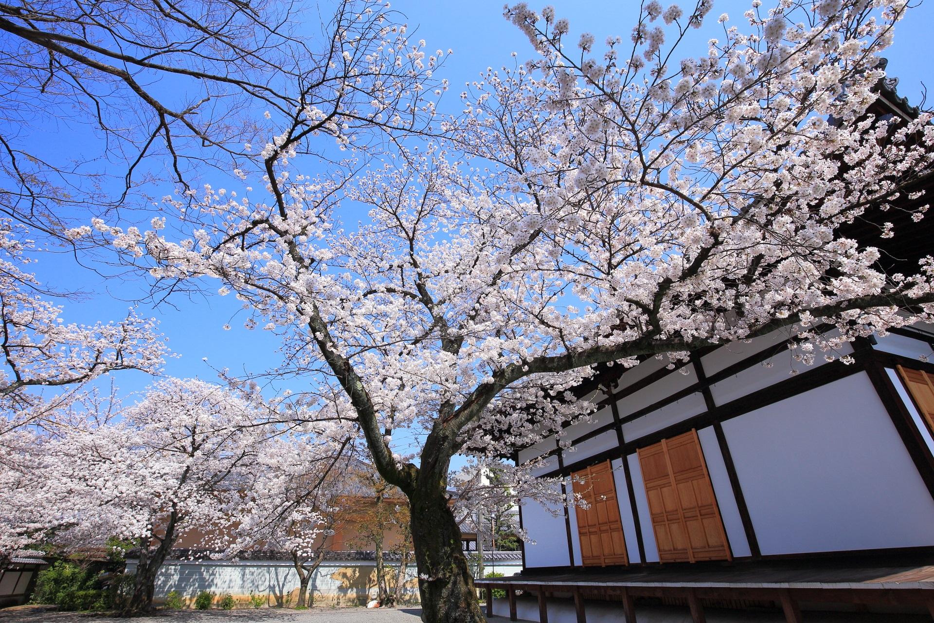妙蓮寺 桜