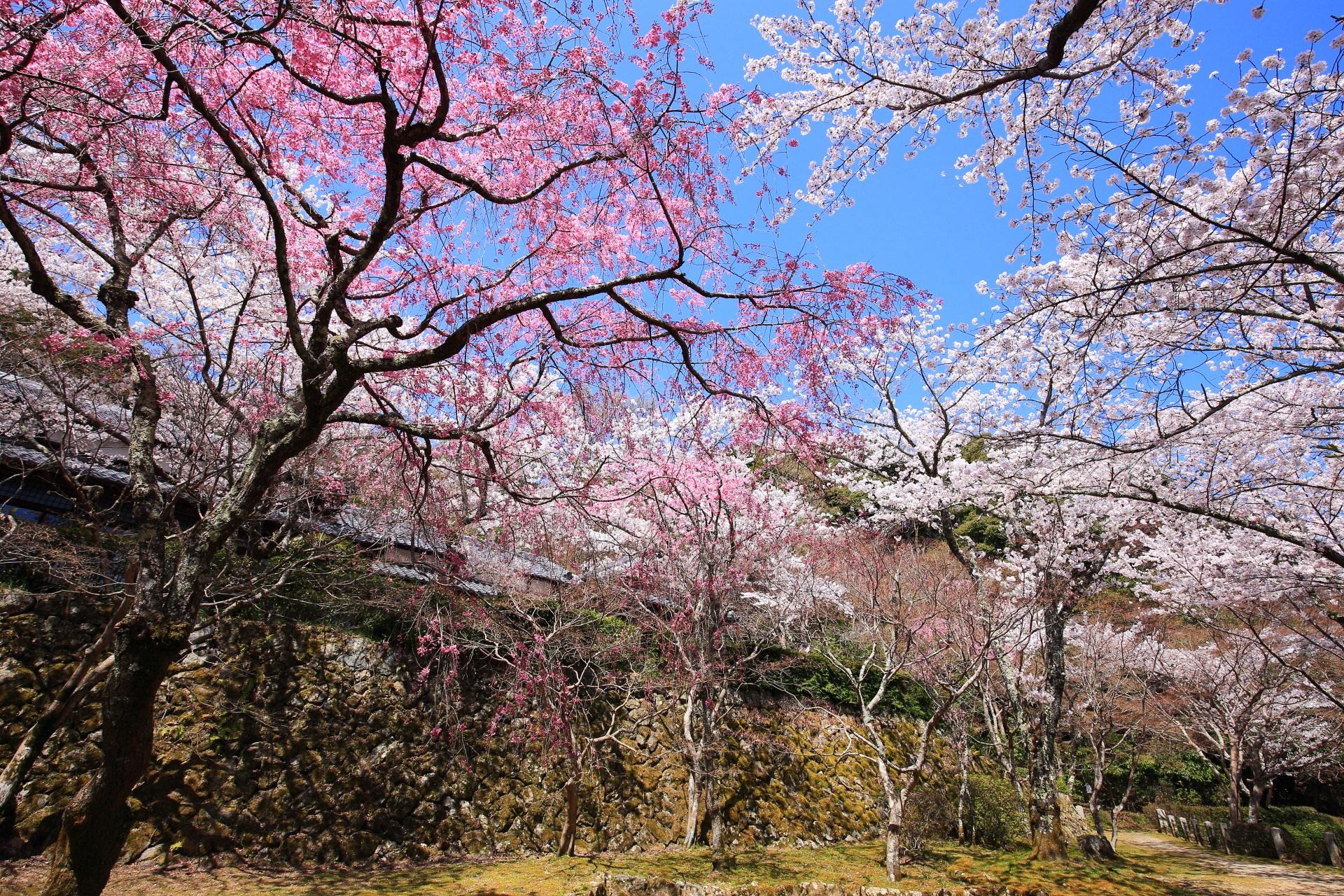 勝持寺 桜
