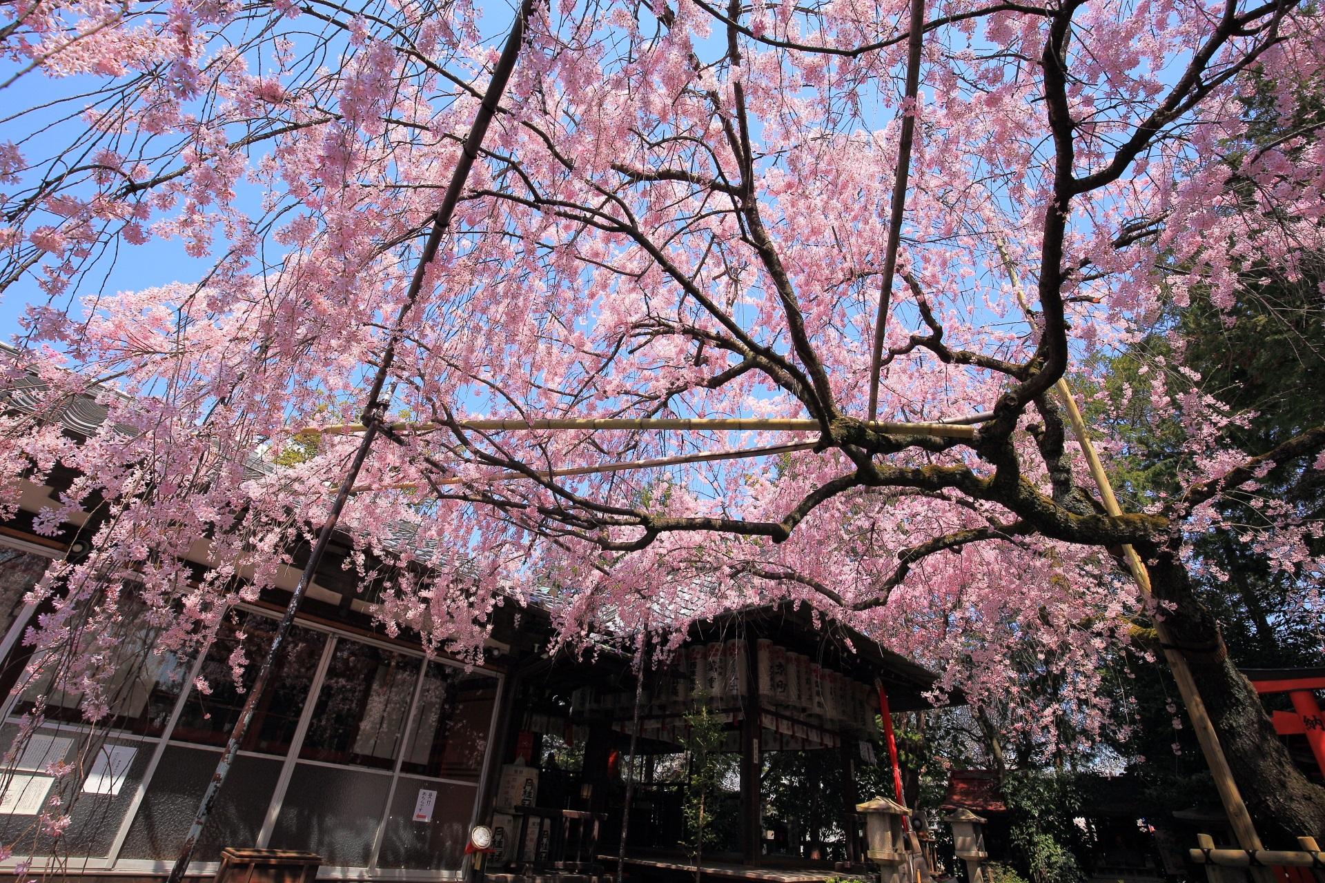 水火天満宮 桜