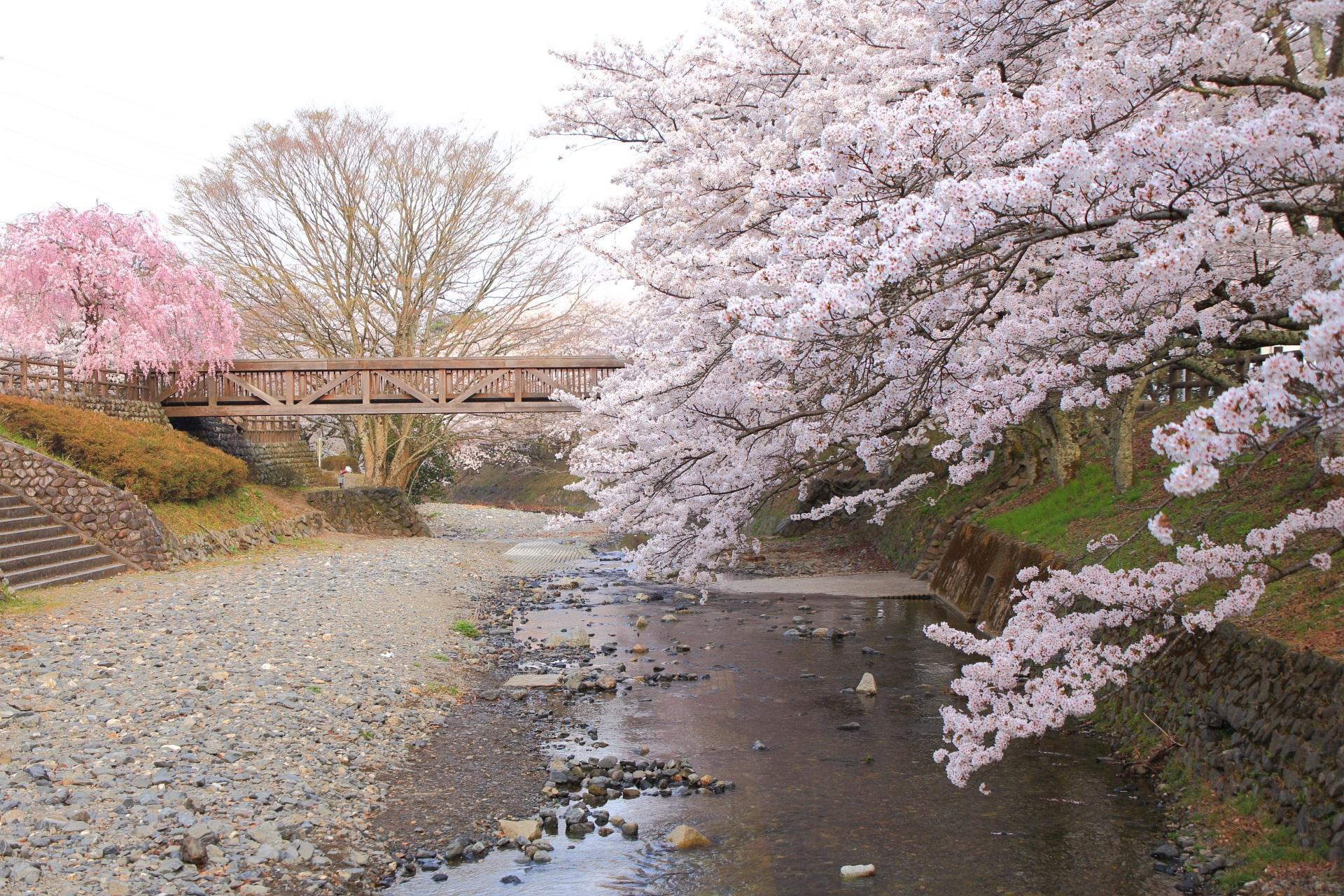 七谷川の上流側から眺めた桜と橋