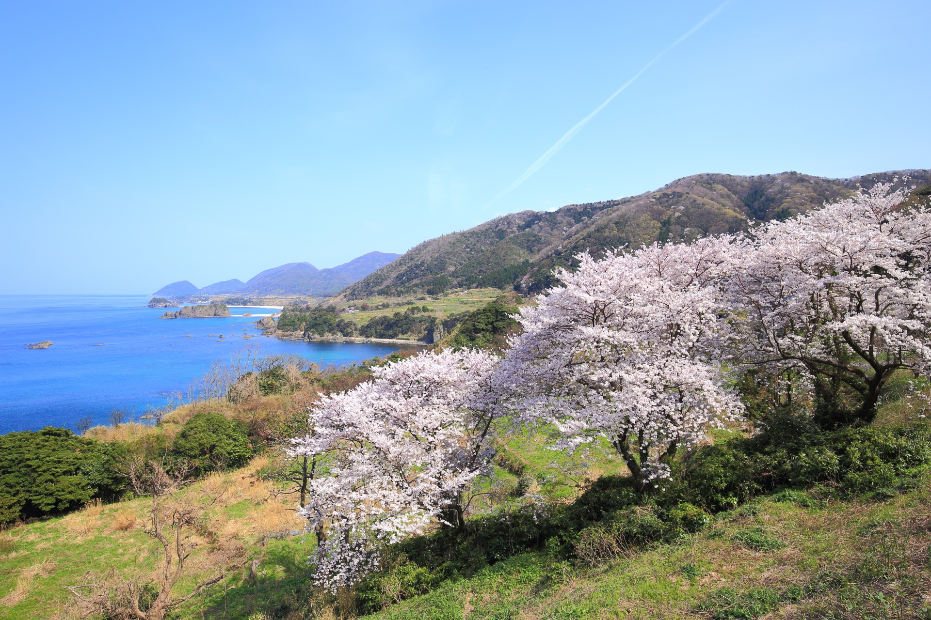 見下ろす桜と丹後松島