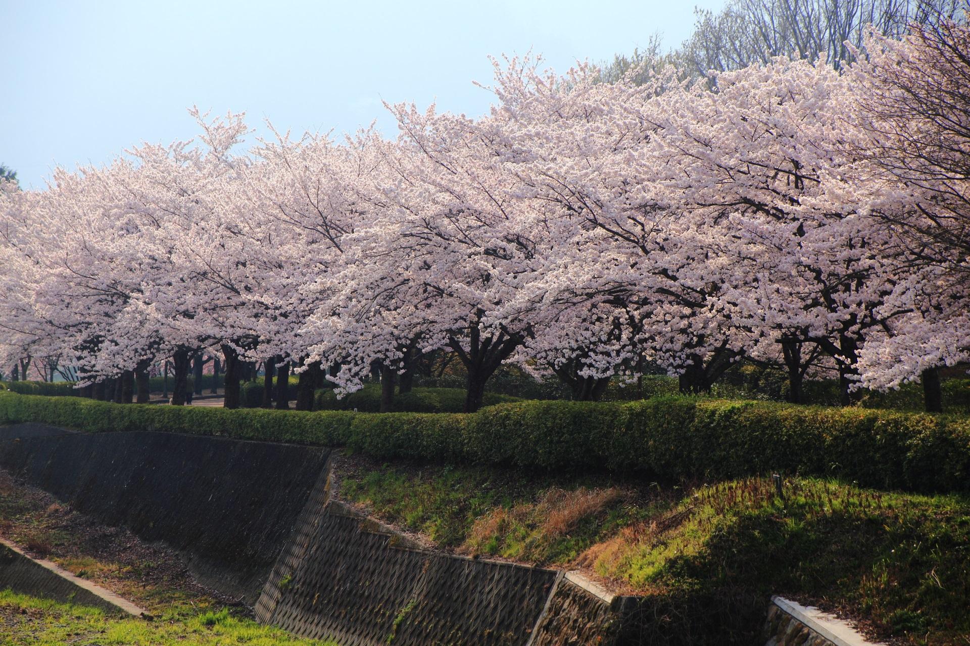 温かな朝日を浴びて華やぐ桜