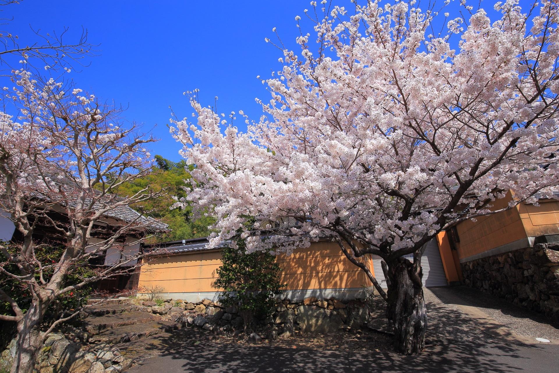 願徳寺の青空の下で咲き誇る桜