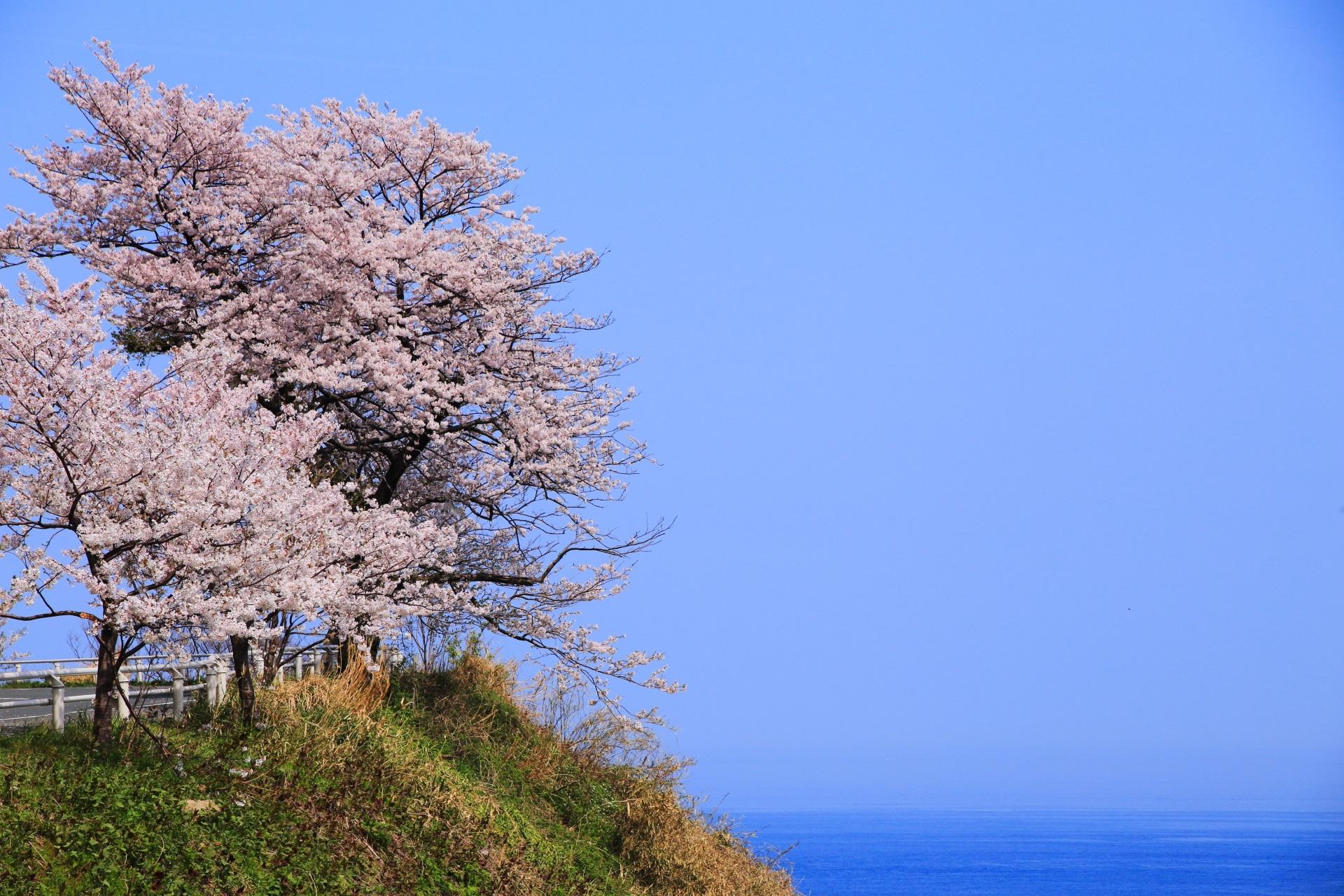 高画質 カマヤ海岸 桜 写真