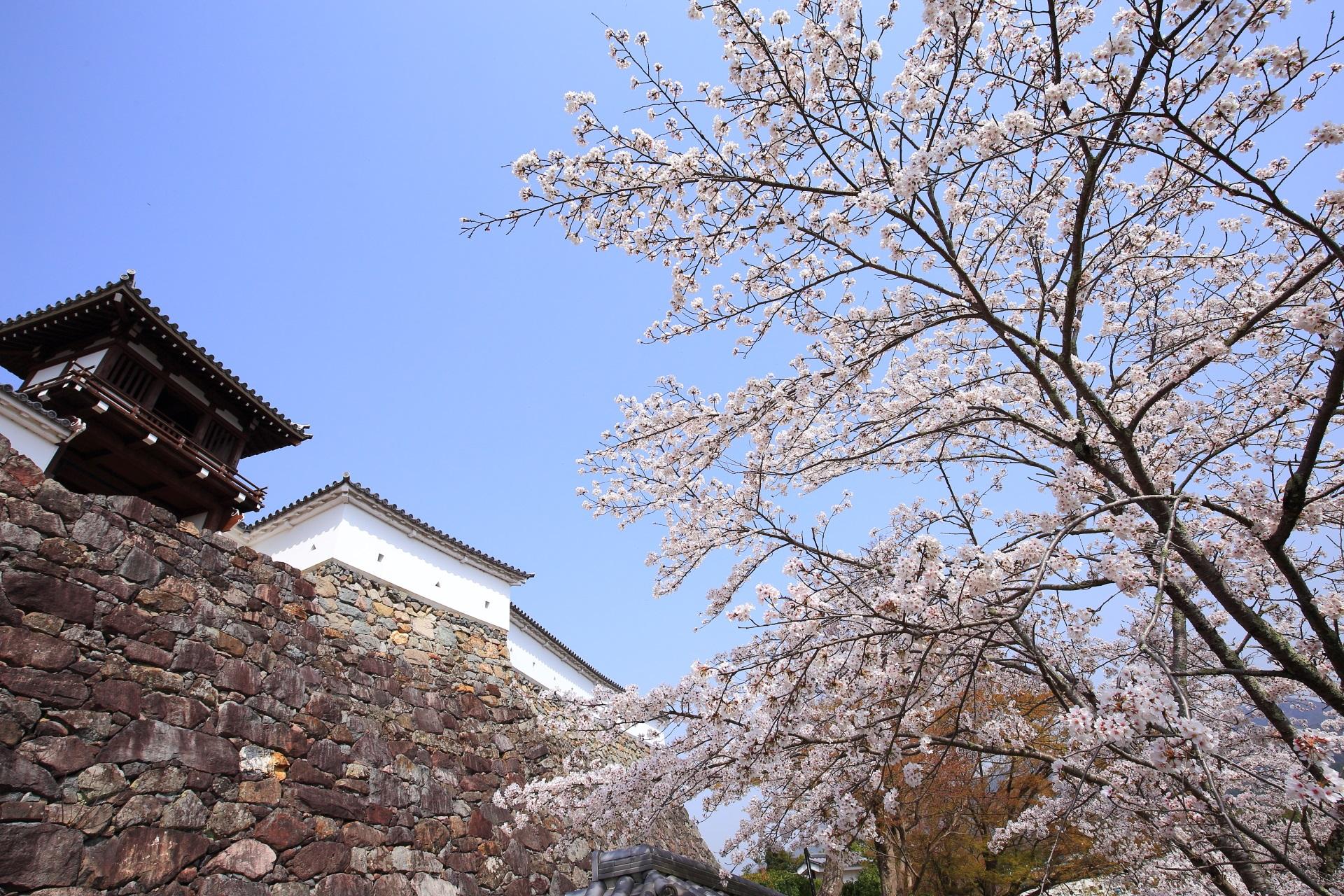 福知山城本丸の石垣や釣鐘門を染める上品な桜