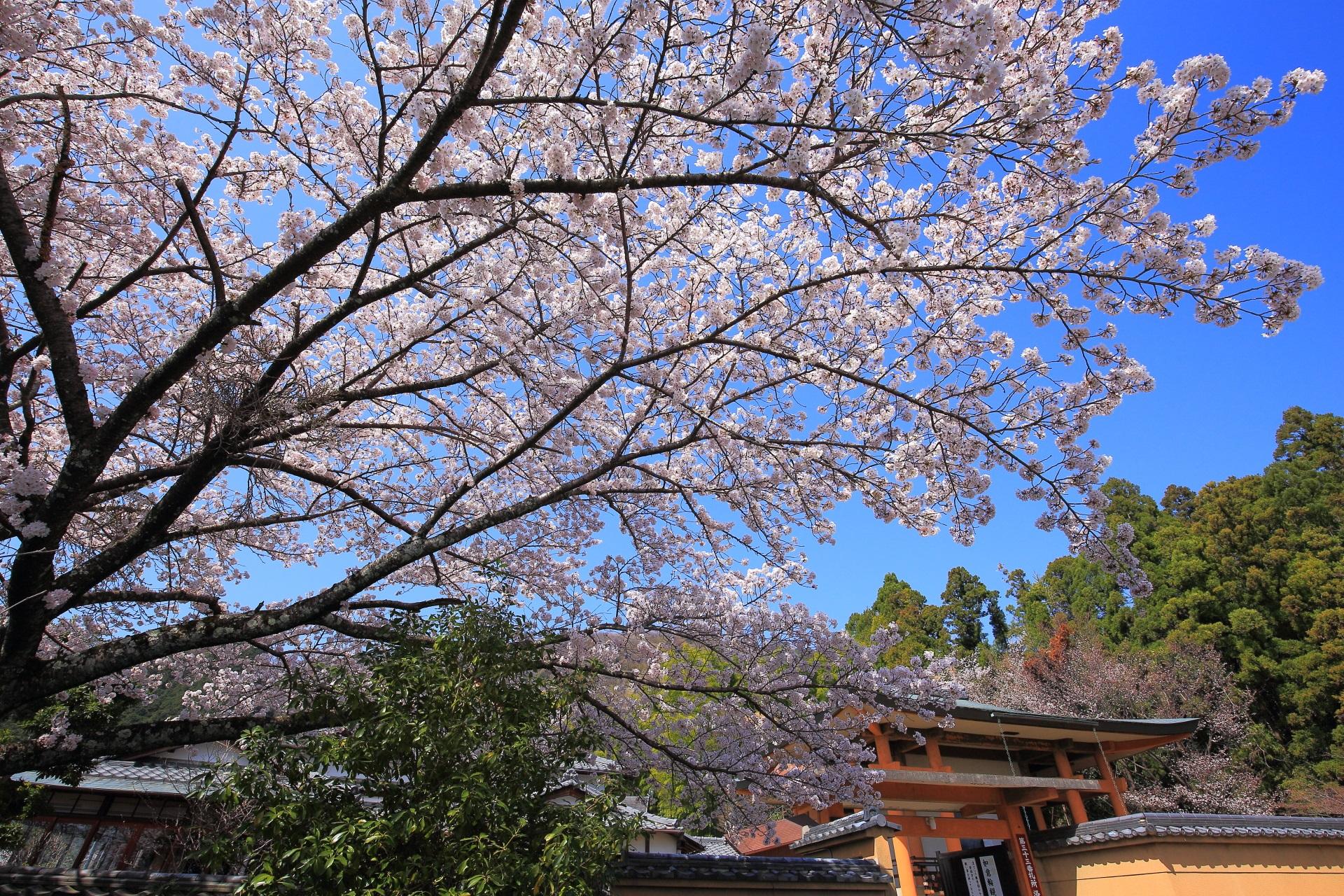 願徳寺の雲一つない青空を覆う桜
