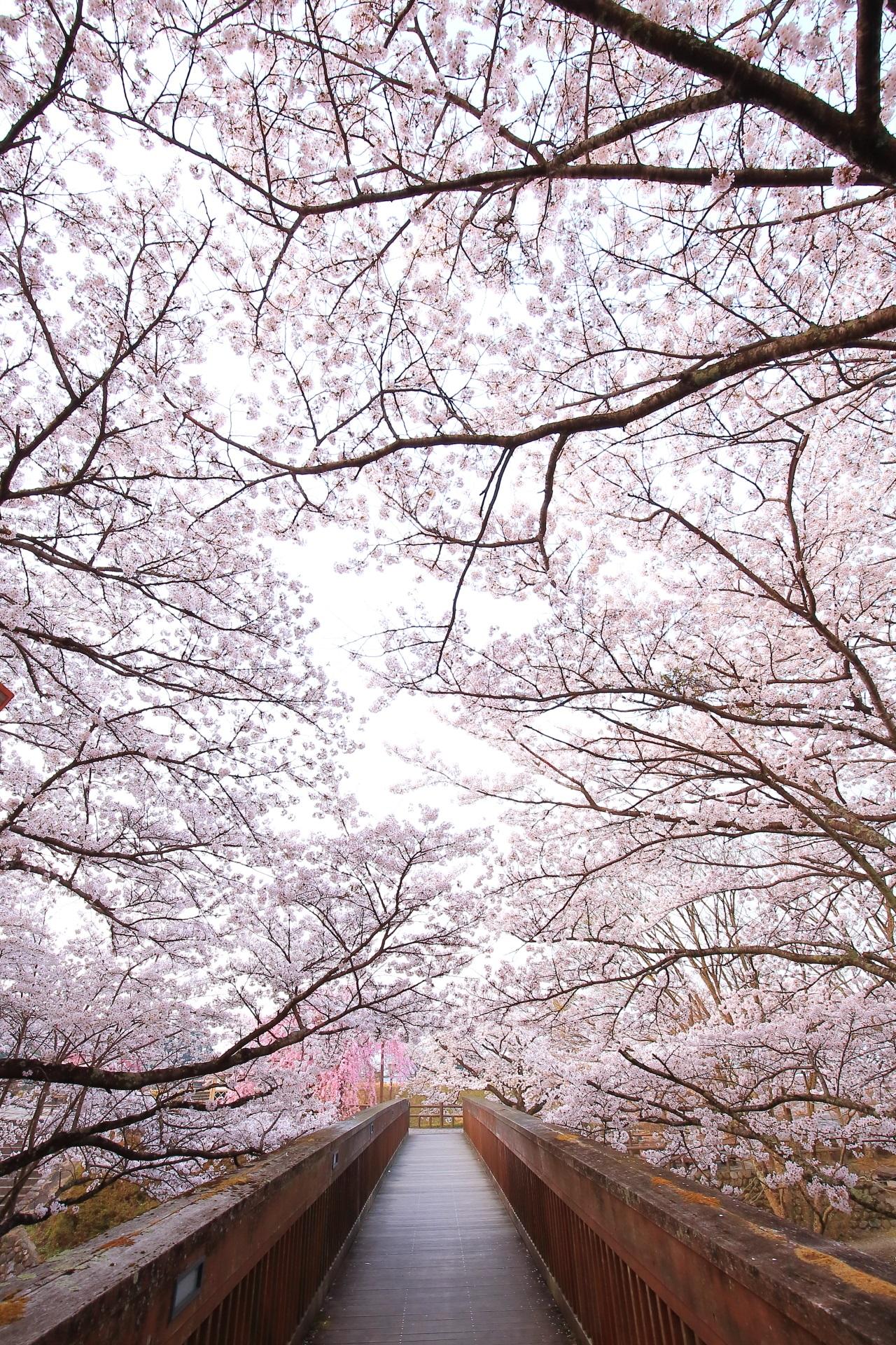 七谷川の圧倒的な桜に染まる橋