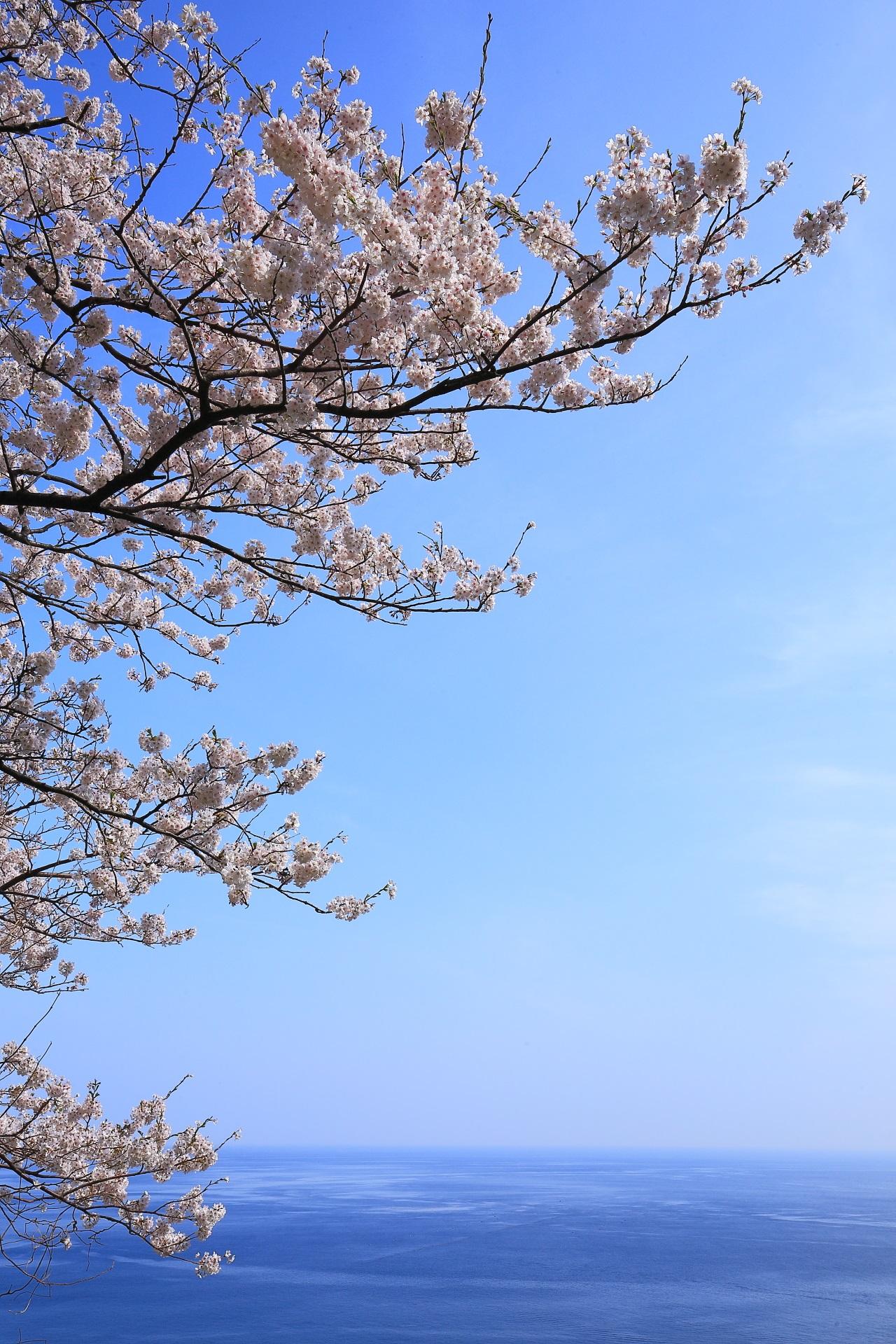 カマヤ海岸の青空と青い海の中で輝く美しすぎる桜