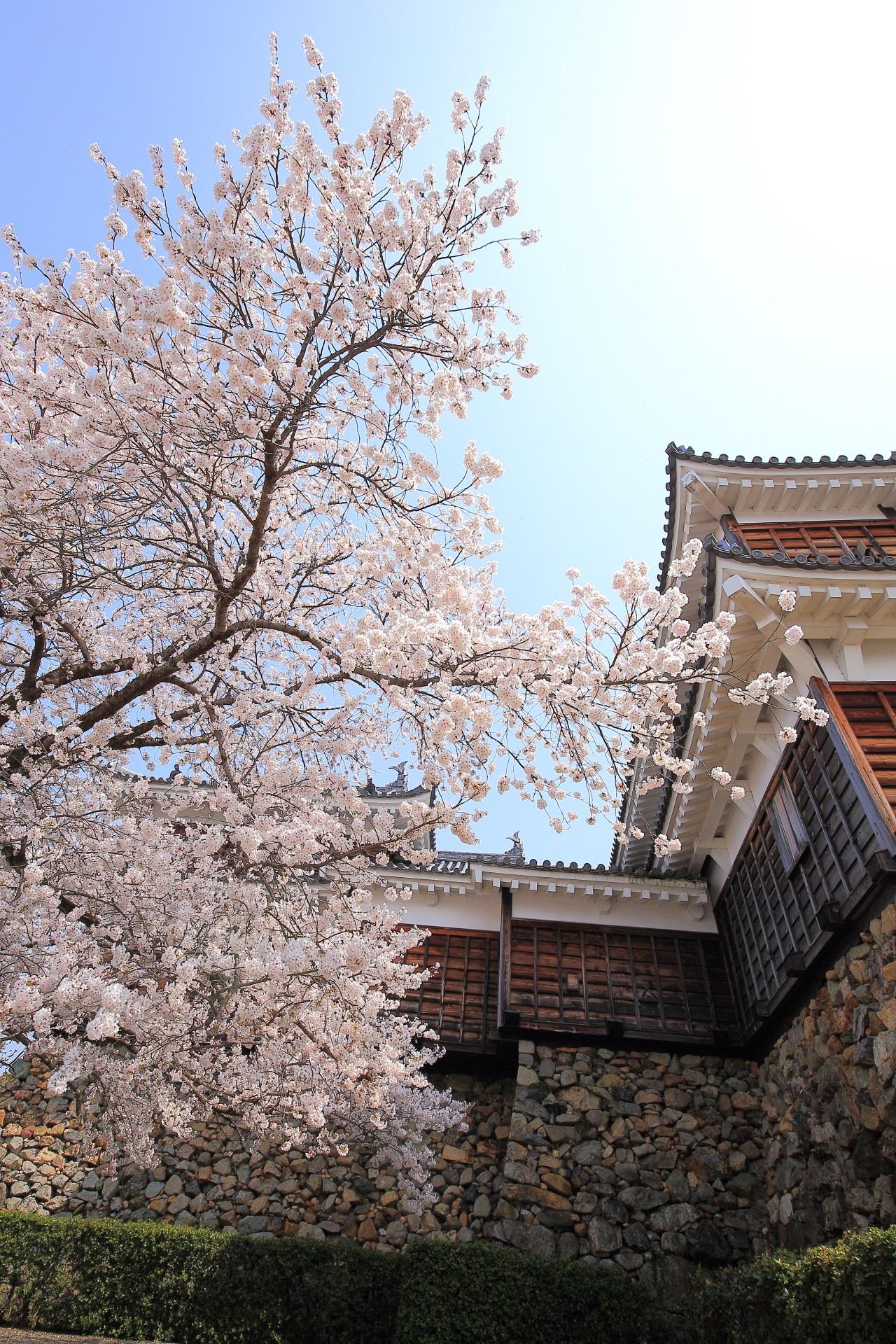 福知山城の天守の横で咲く誇る桜