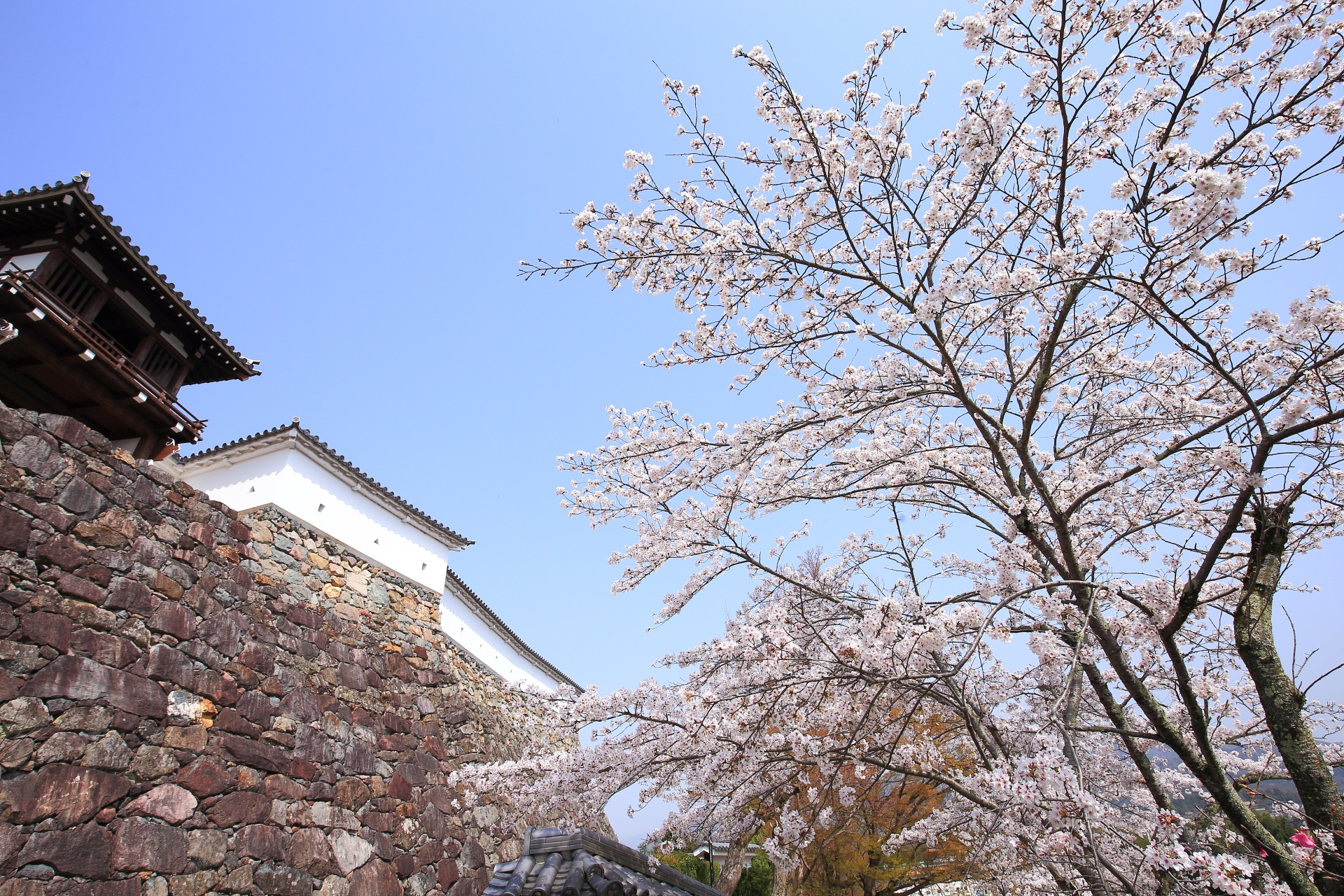 福知山城の優雅に華やぐ桜