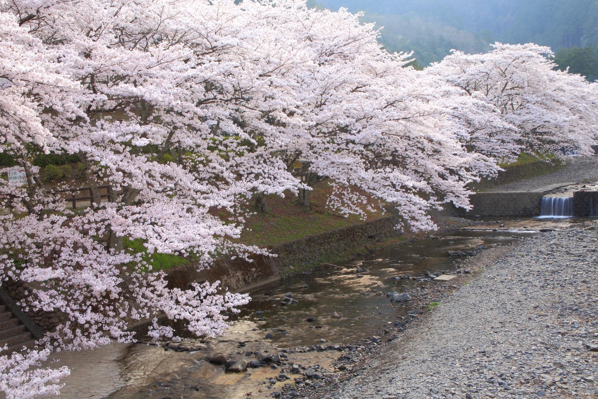 七谷川の川面を華やぐ絶品の桜