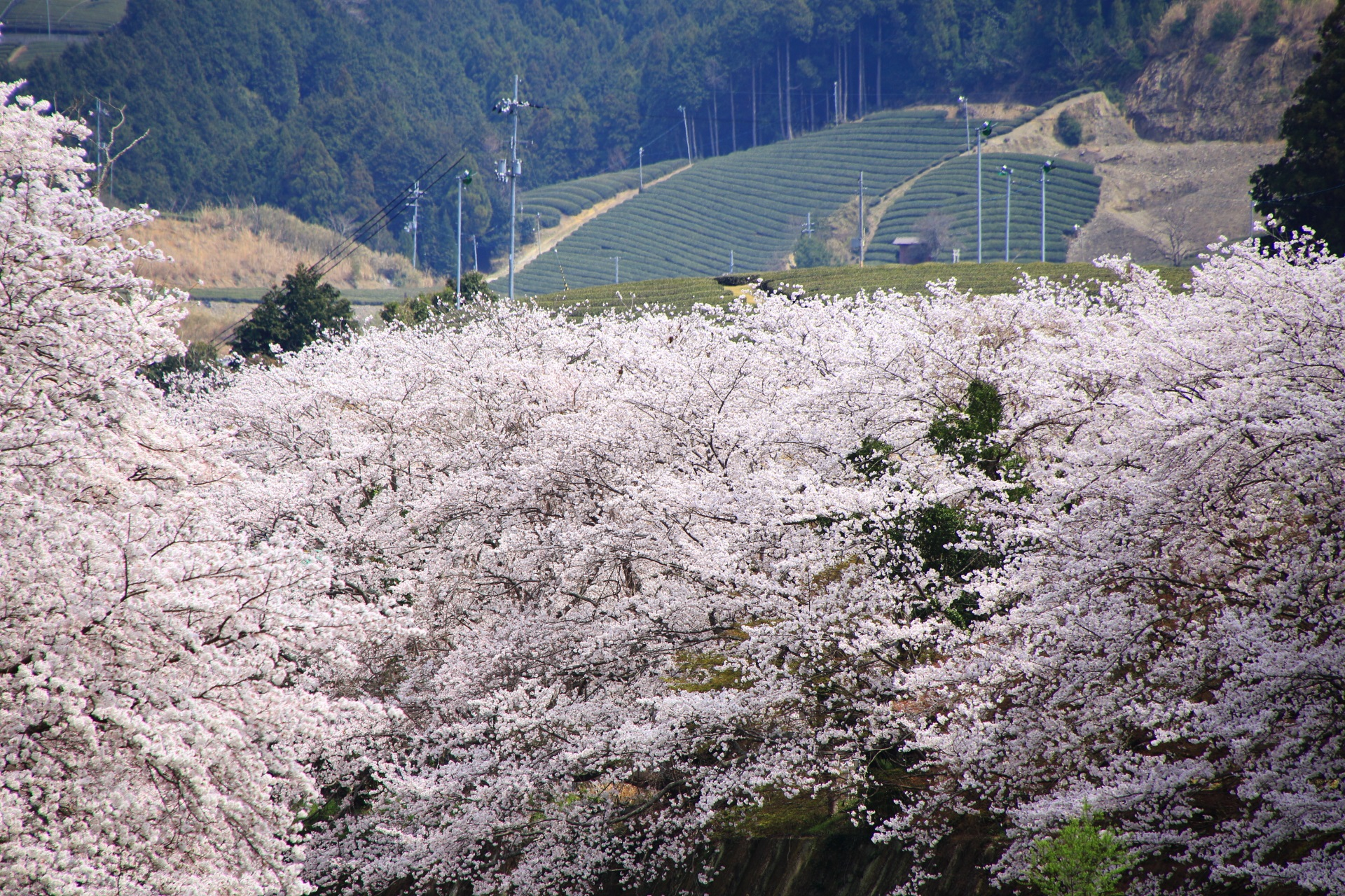 美しいお茶畑を背景に咲き乱れる和束町の桜