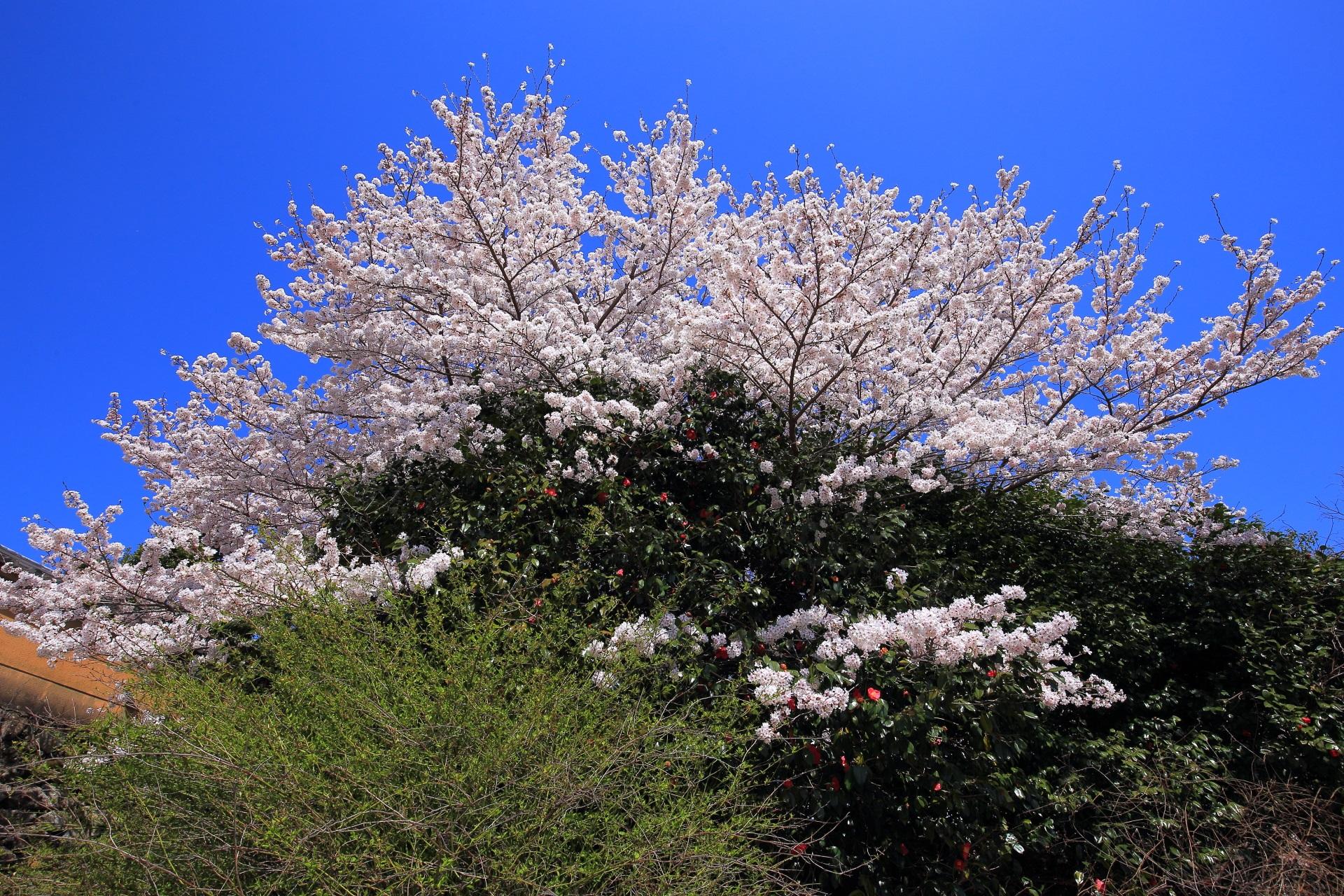 願徳寺の椿に覆いかぶさるように咲く豪快な桜