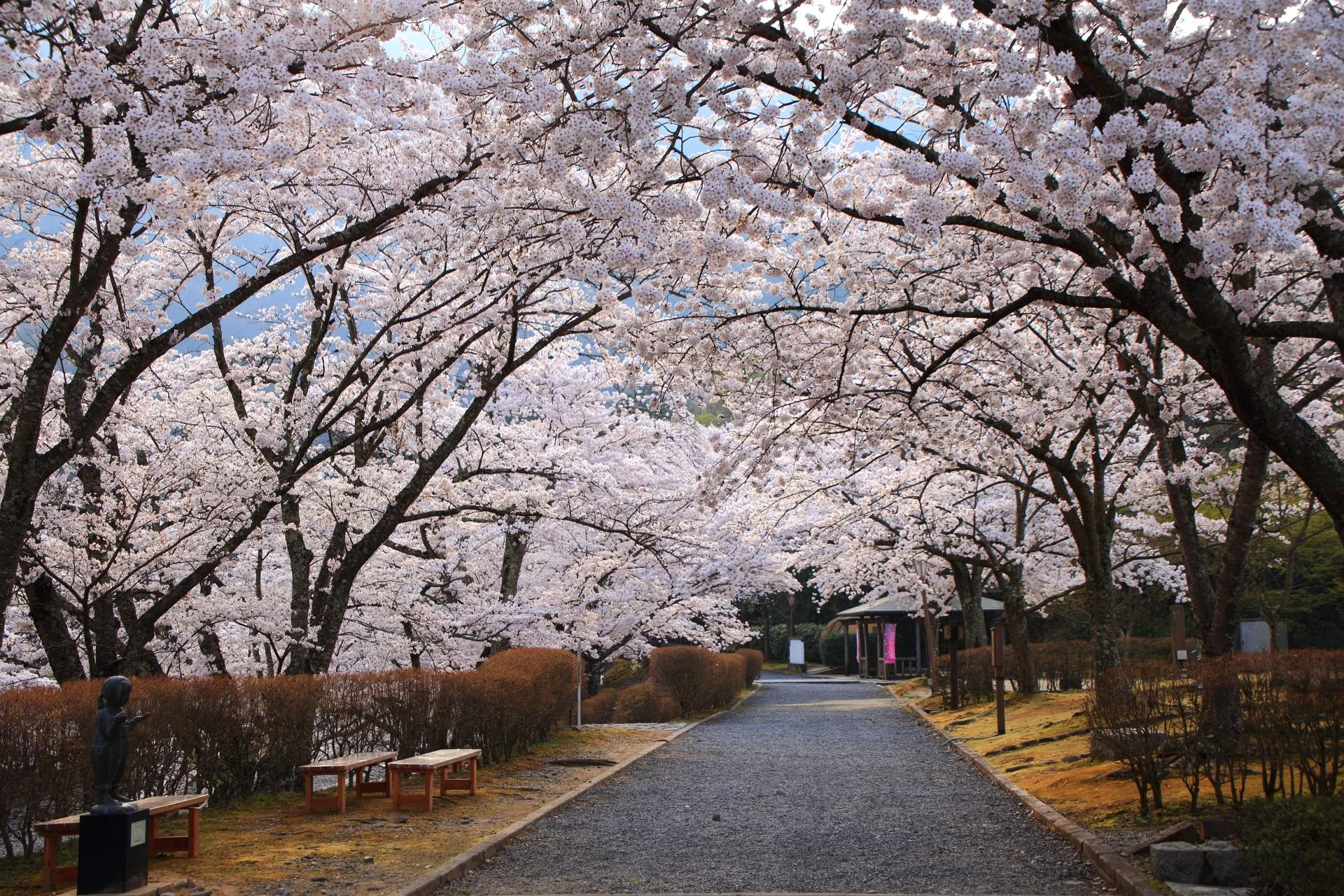 七谷川沿いの和らぎの道の桜