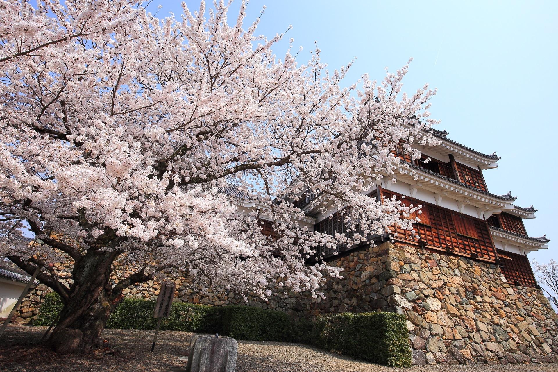 福知山城 高画質 桜 画像