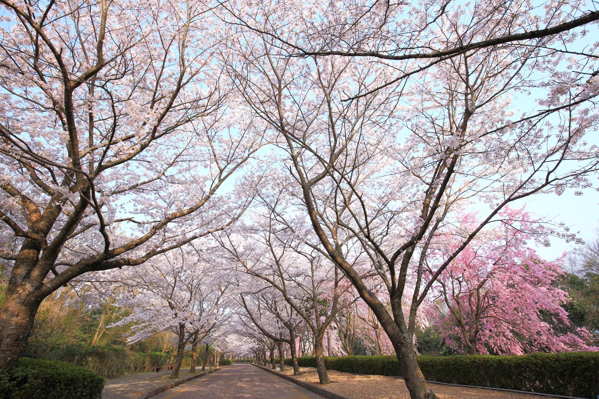 和らぎの道の極上の桜のトンネル