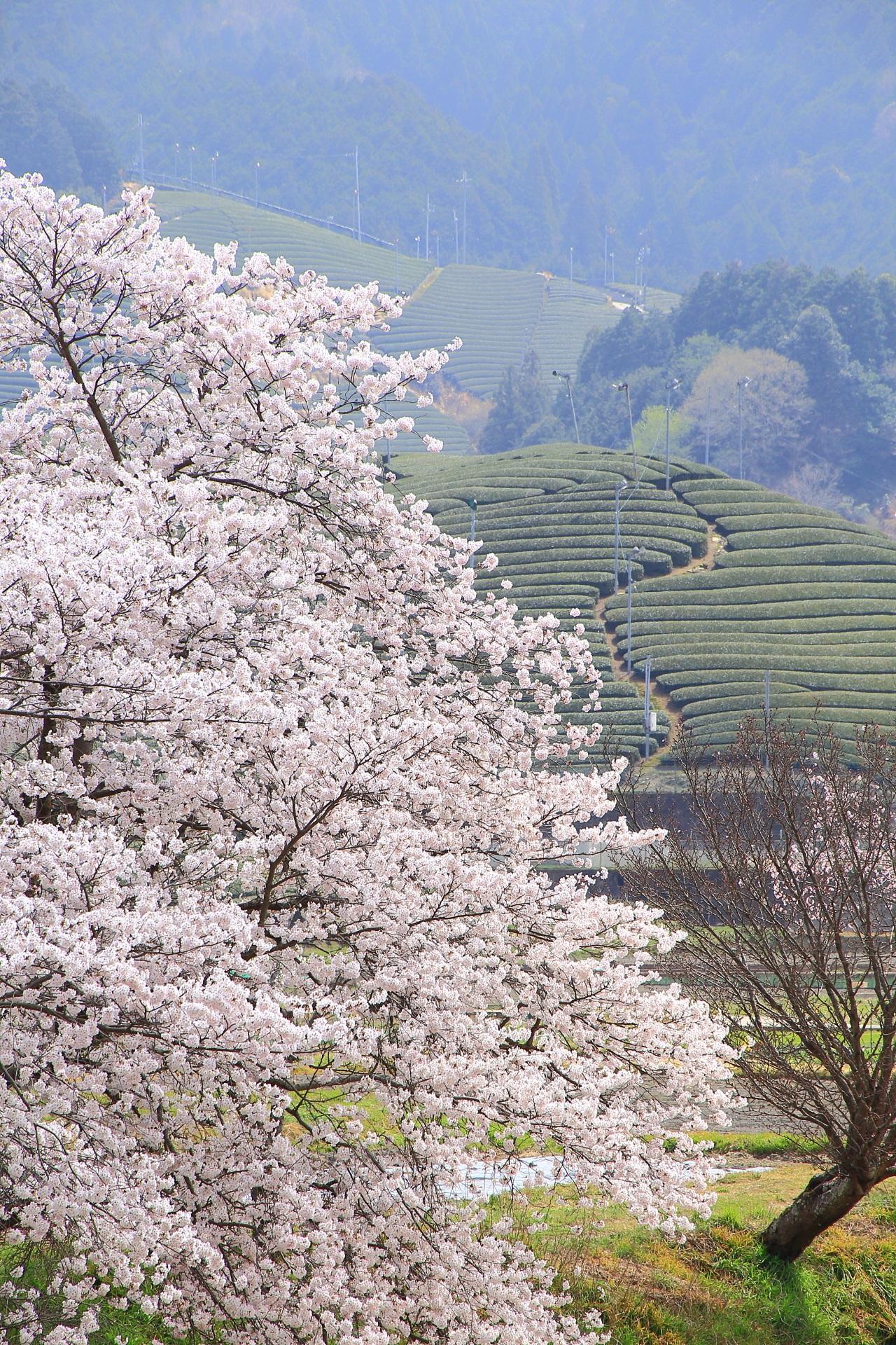 和束町の豪快に咲き誇る桜と茶畑