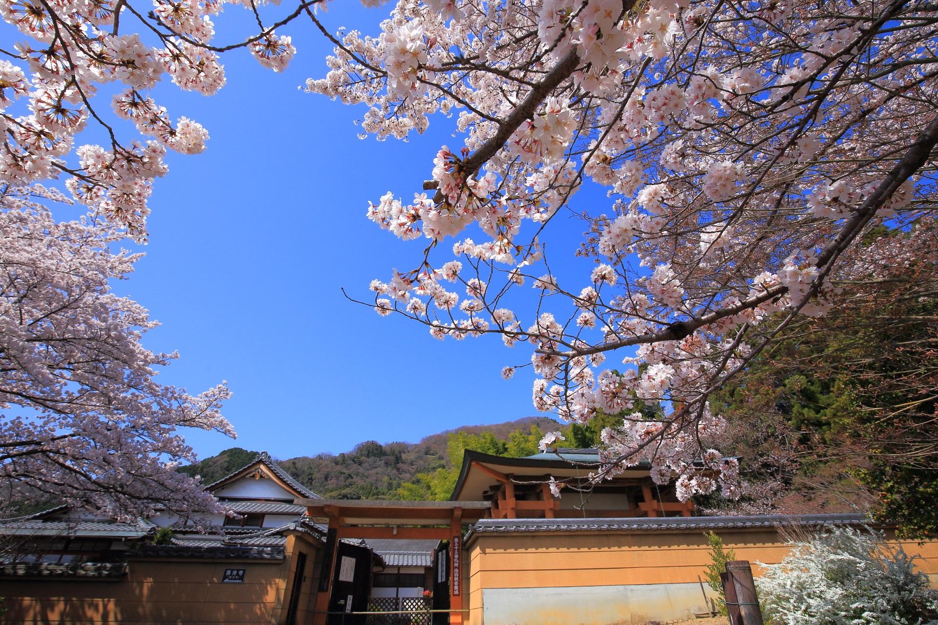 願徳寺の正面の桜