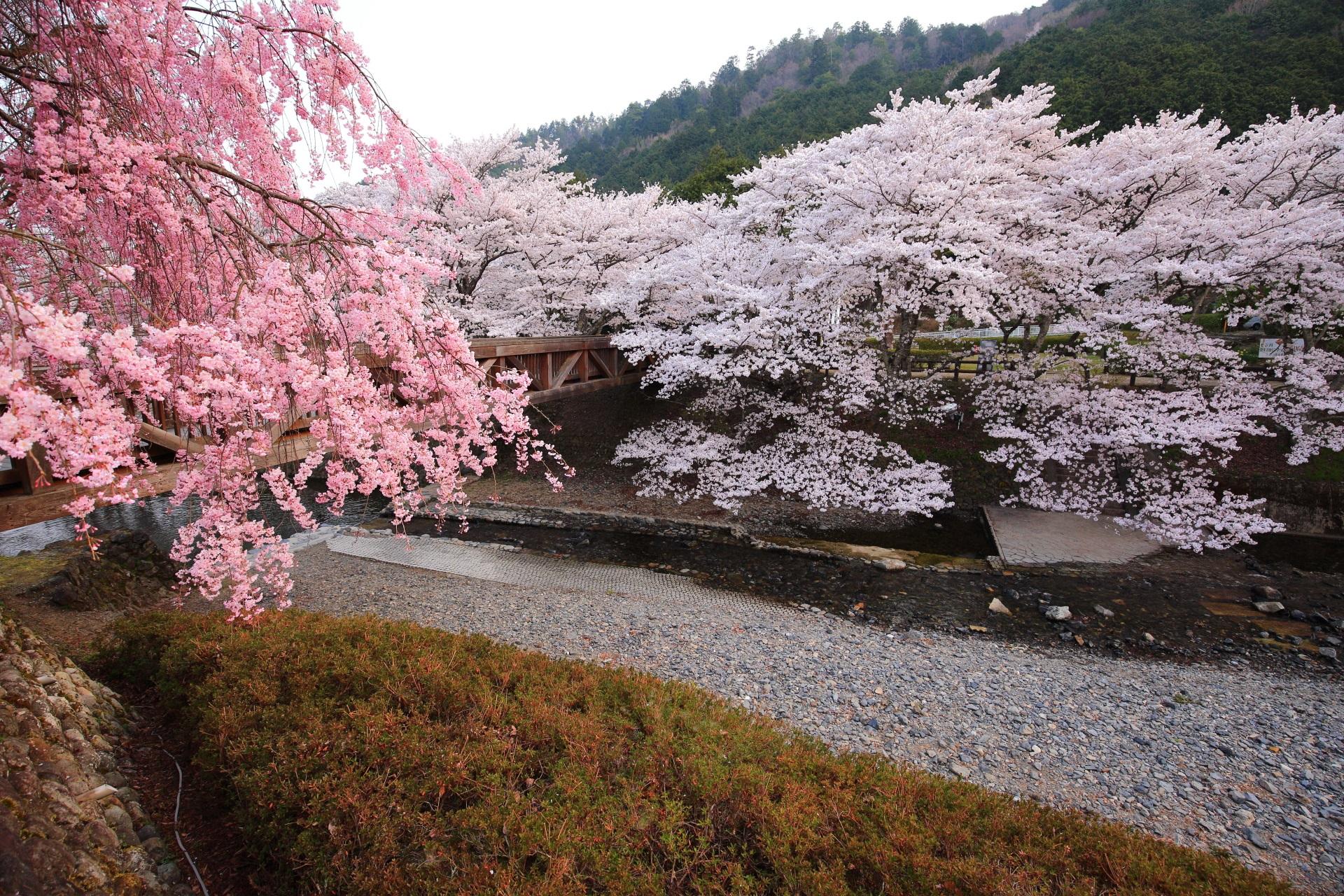 七谷川の美しいピンクと白の桜のコラボ