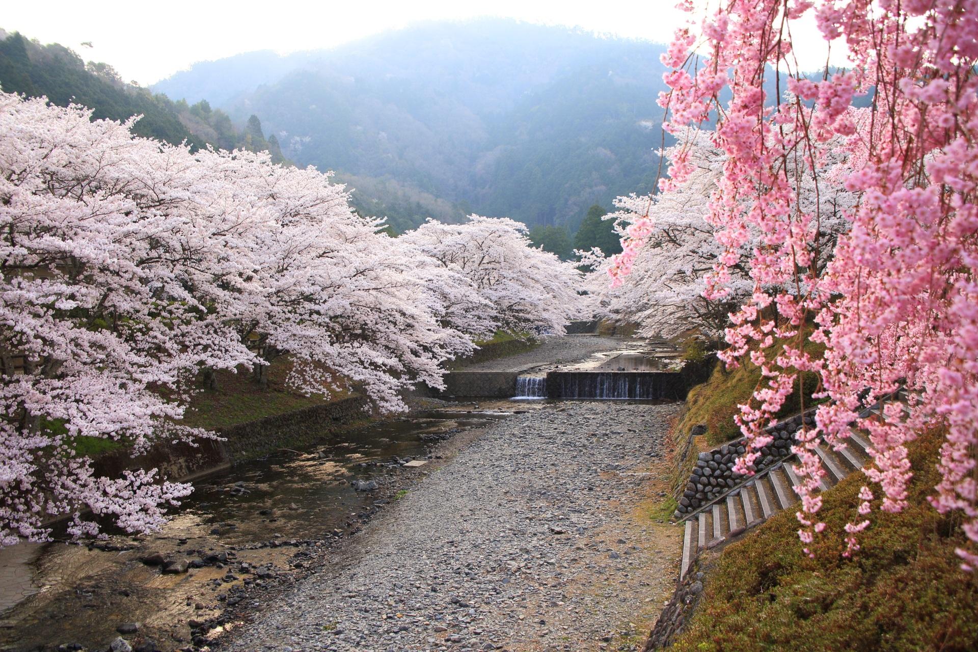 七谷川の橋から眺めた川面を覆う桜