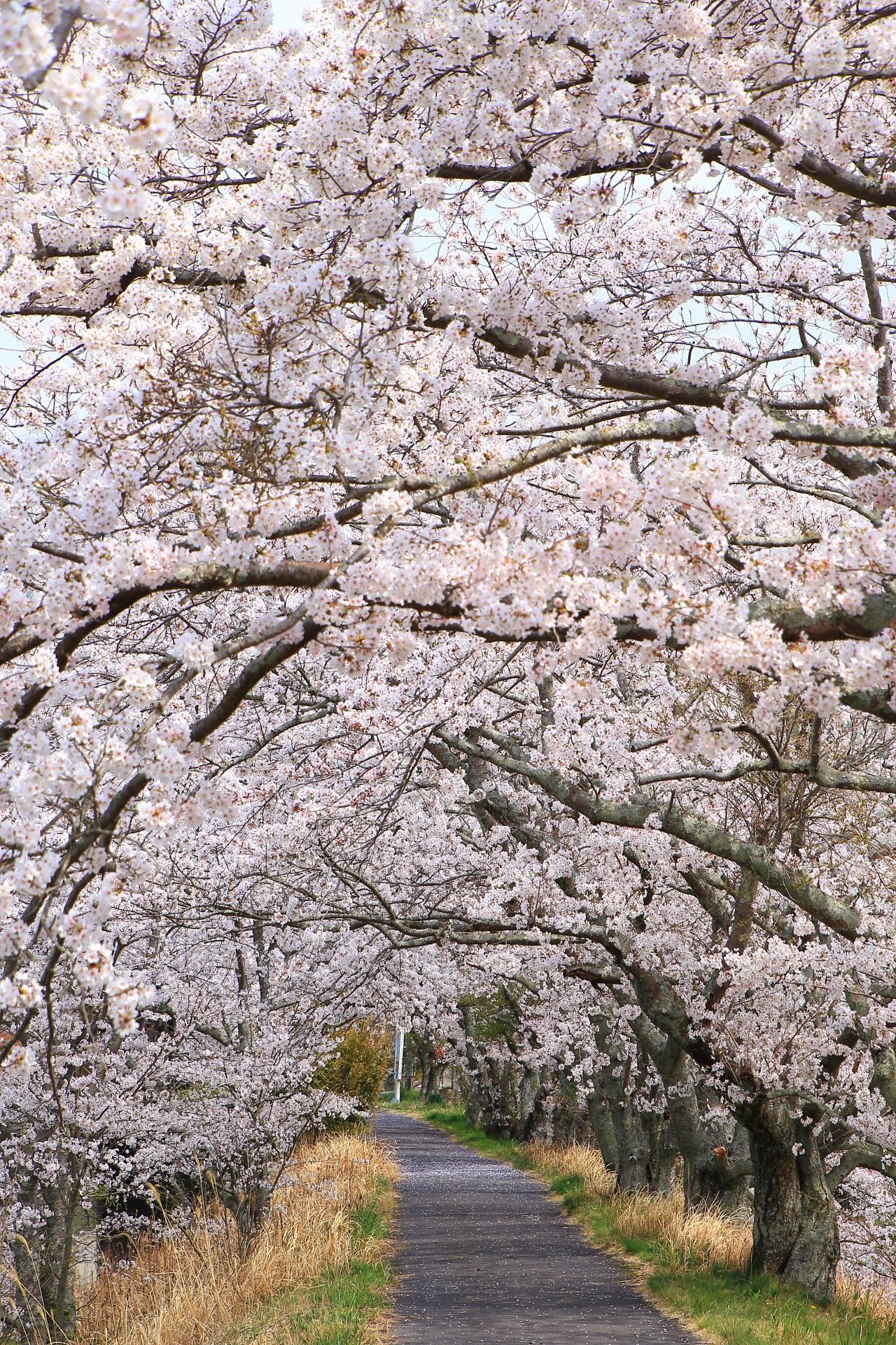 和束町の絶品の桜のトンネル