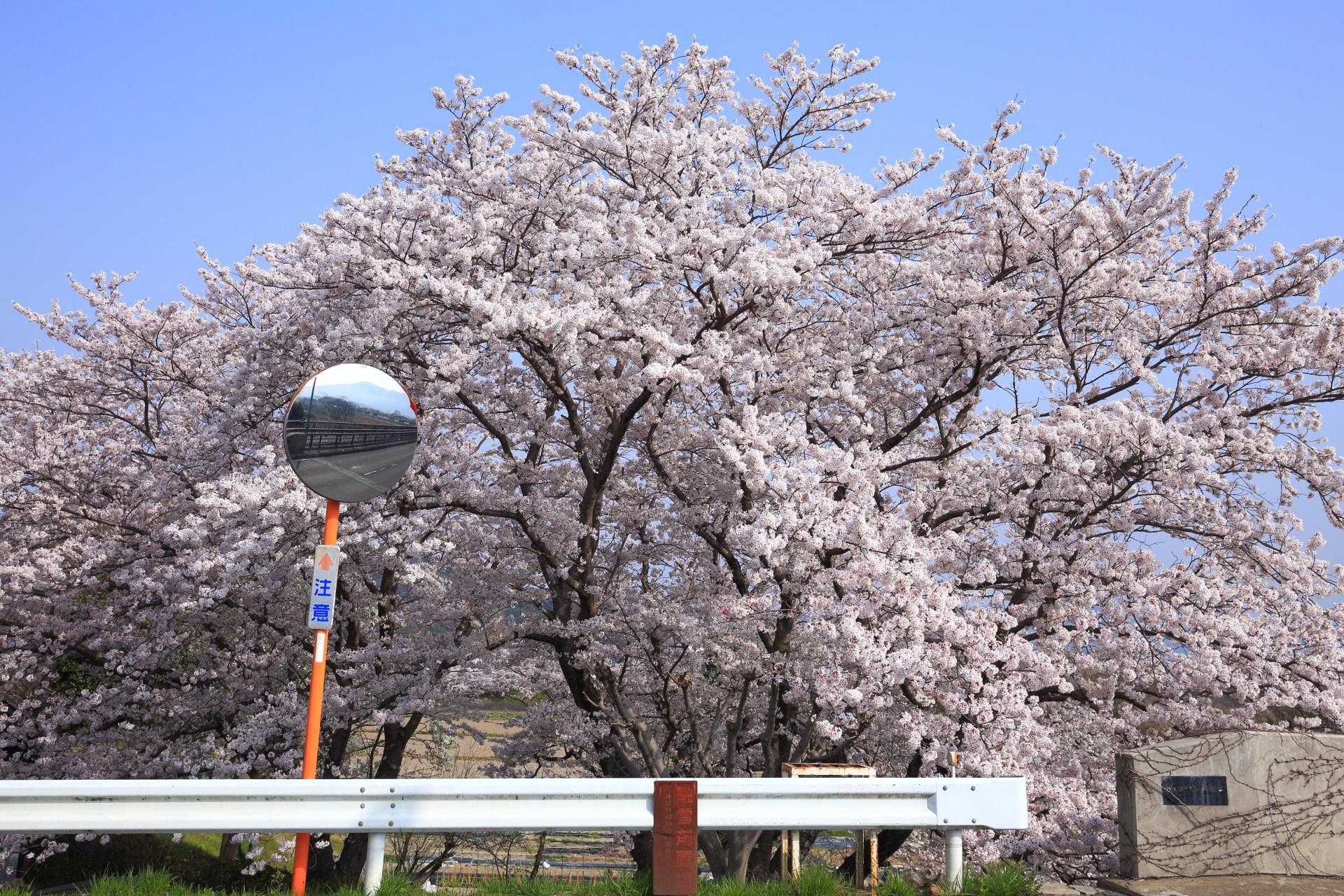 名もなき極上の桜
