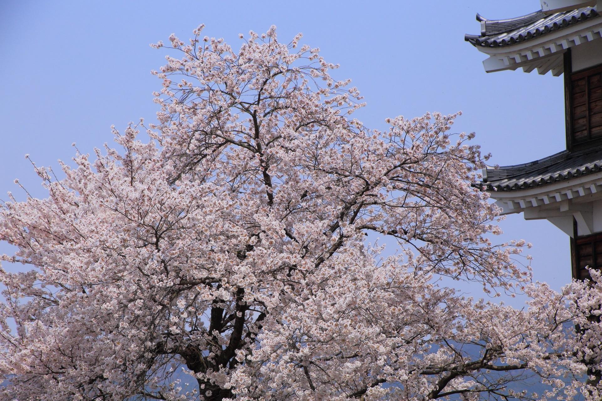 福知山城の青空を背景に咲き誇る桜