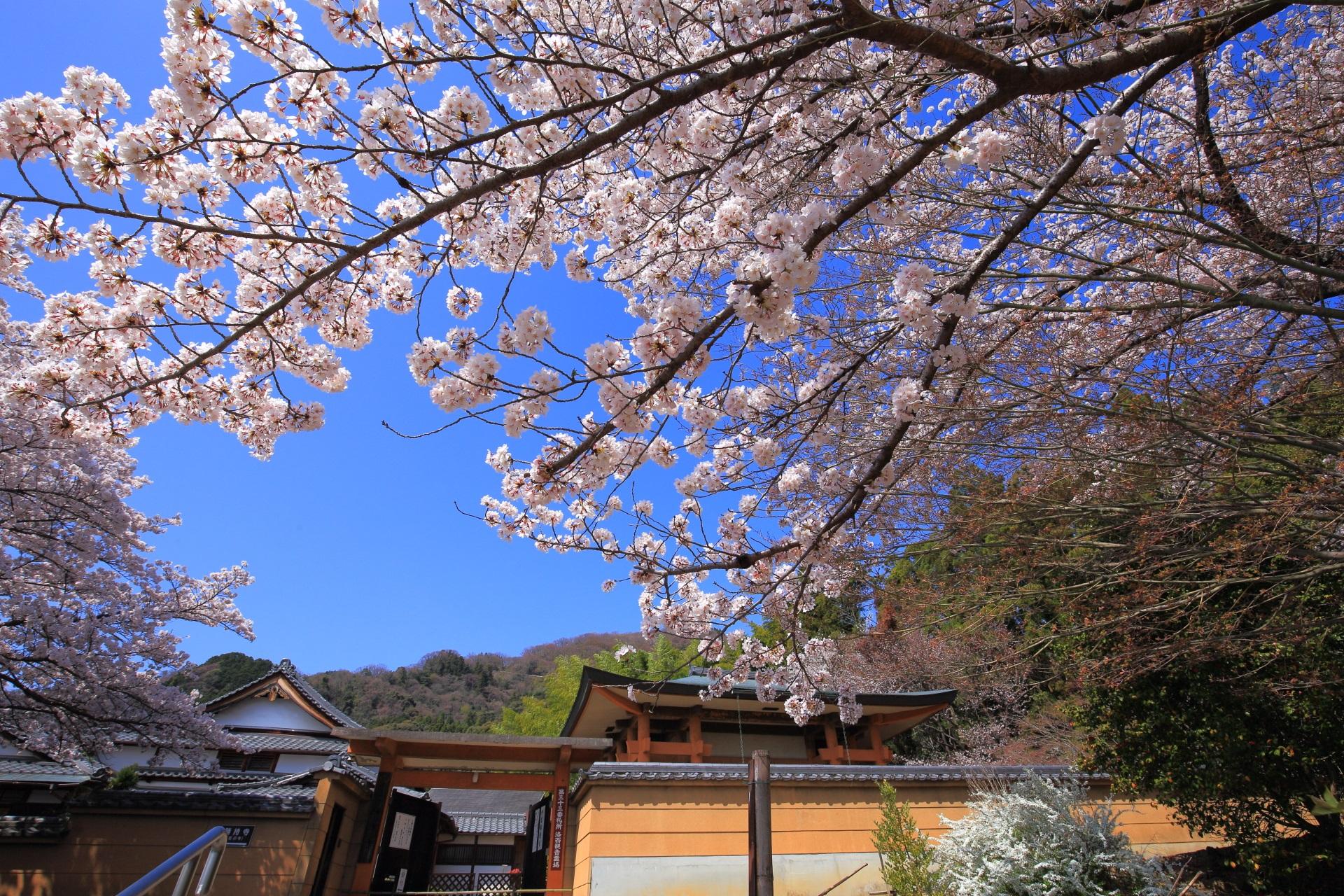 京都西山の桜の穴場の願徳寺