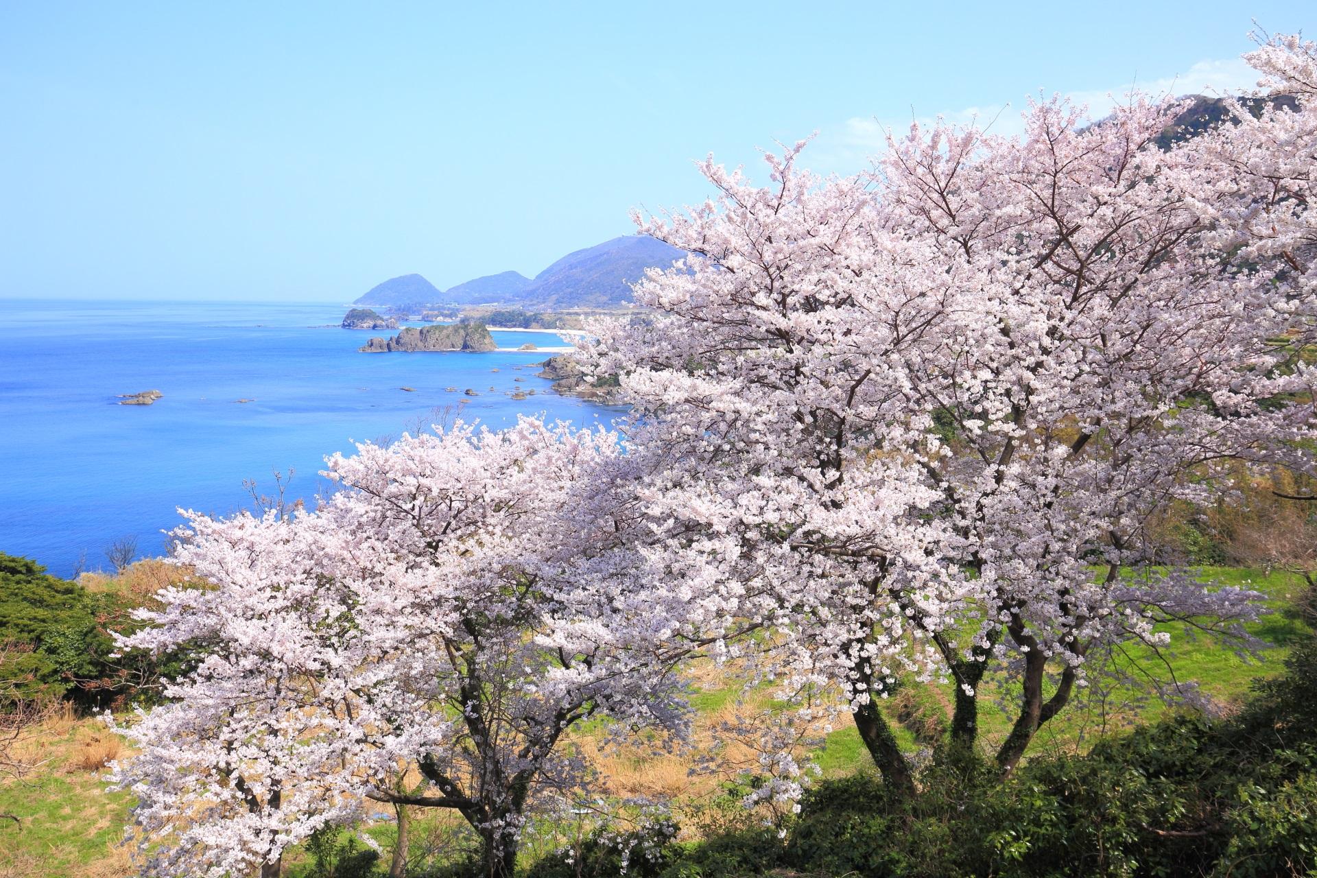 丹後松島の咲き乱れる桜