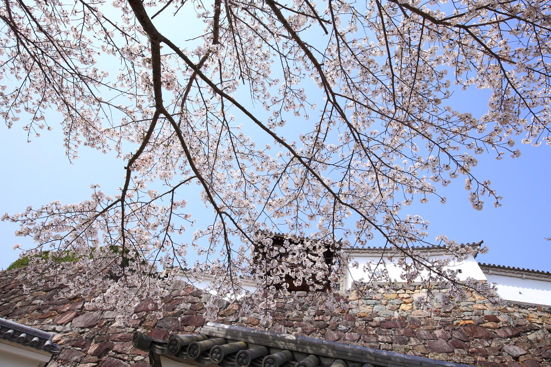 福知山城東側の釣鐘門や城壁を彩る桜