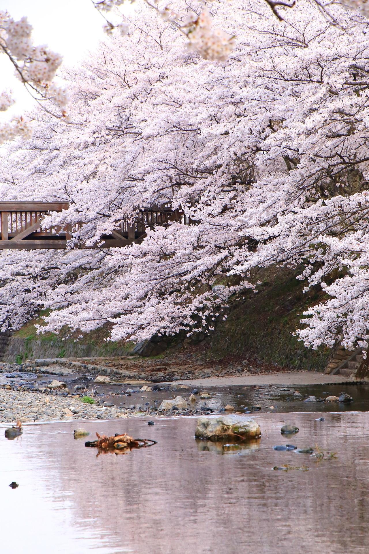 七谷川の大迫力の極上の水辺の桜