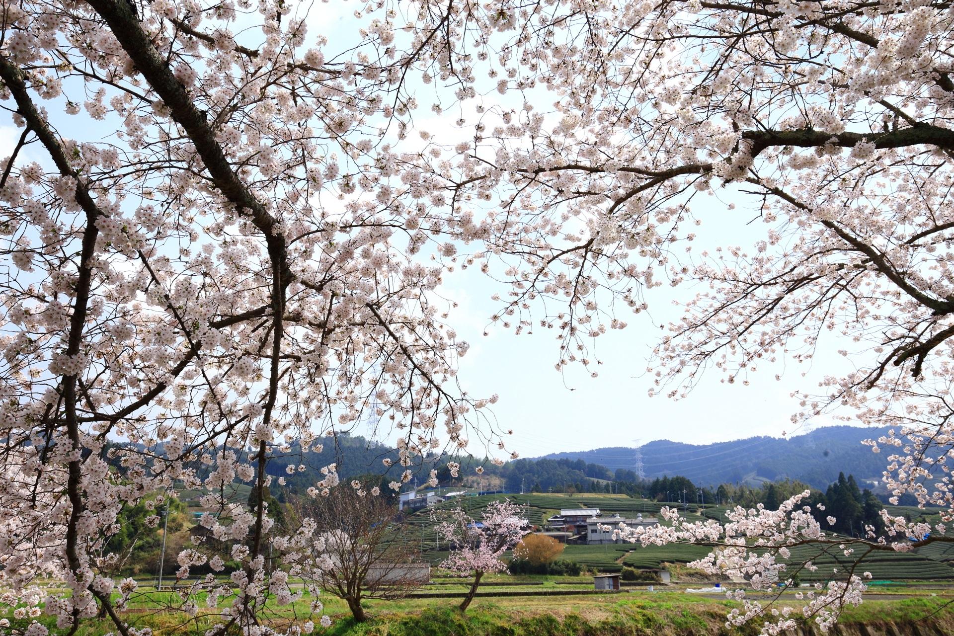 和束町の空を覆う煌びやかな桜
