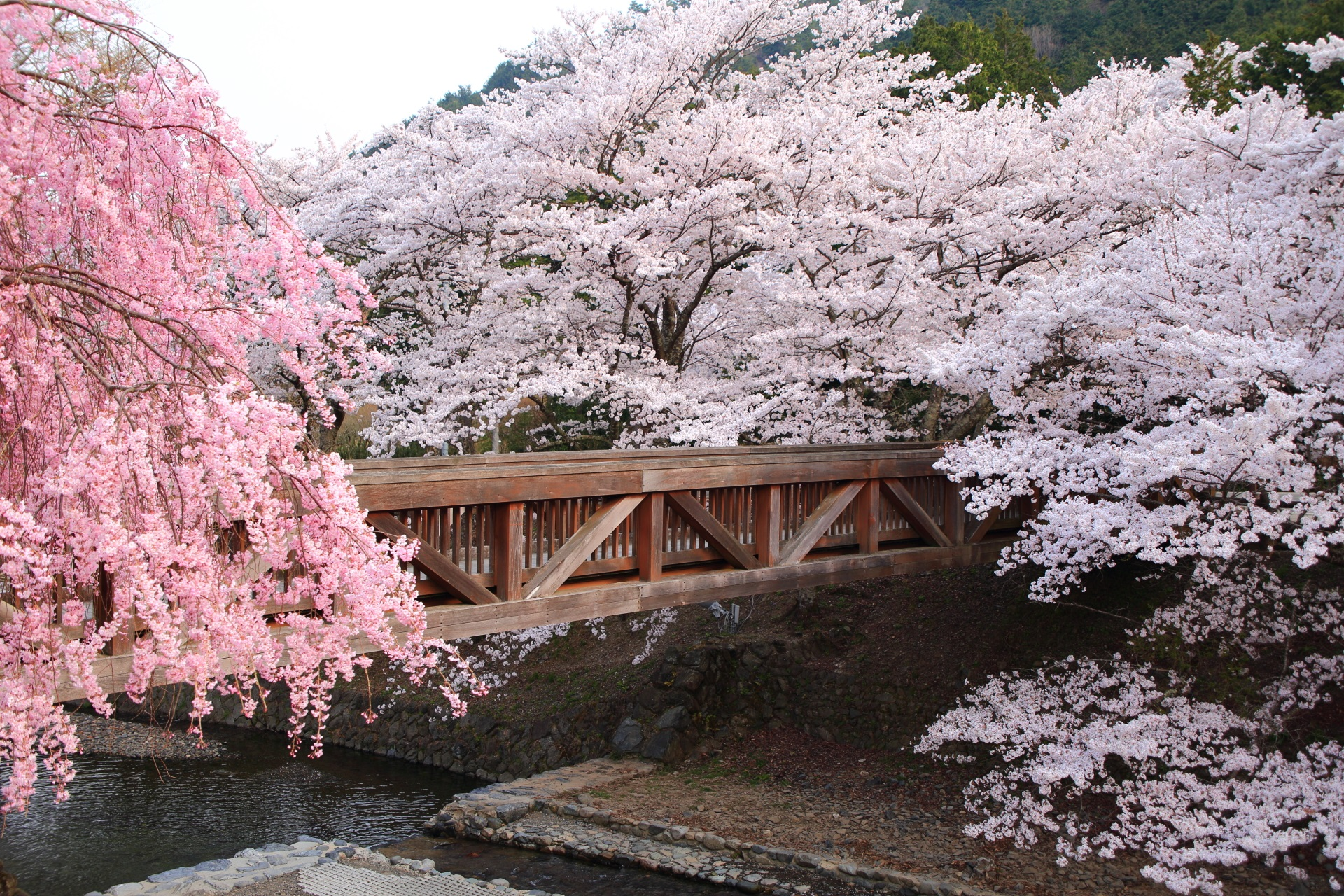 七谷川の風情ある桜の光景
