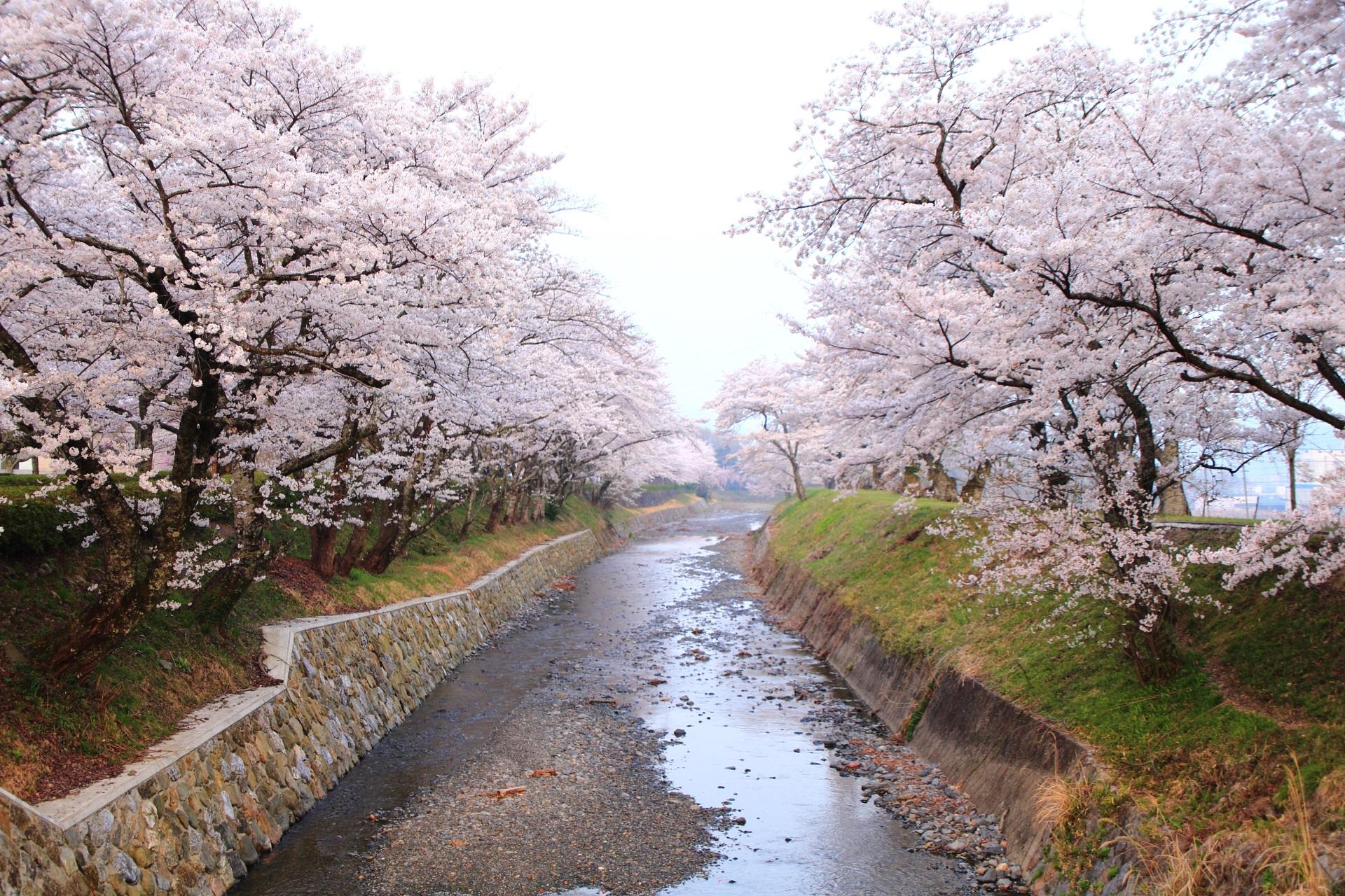 七谷川の桜並木