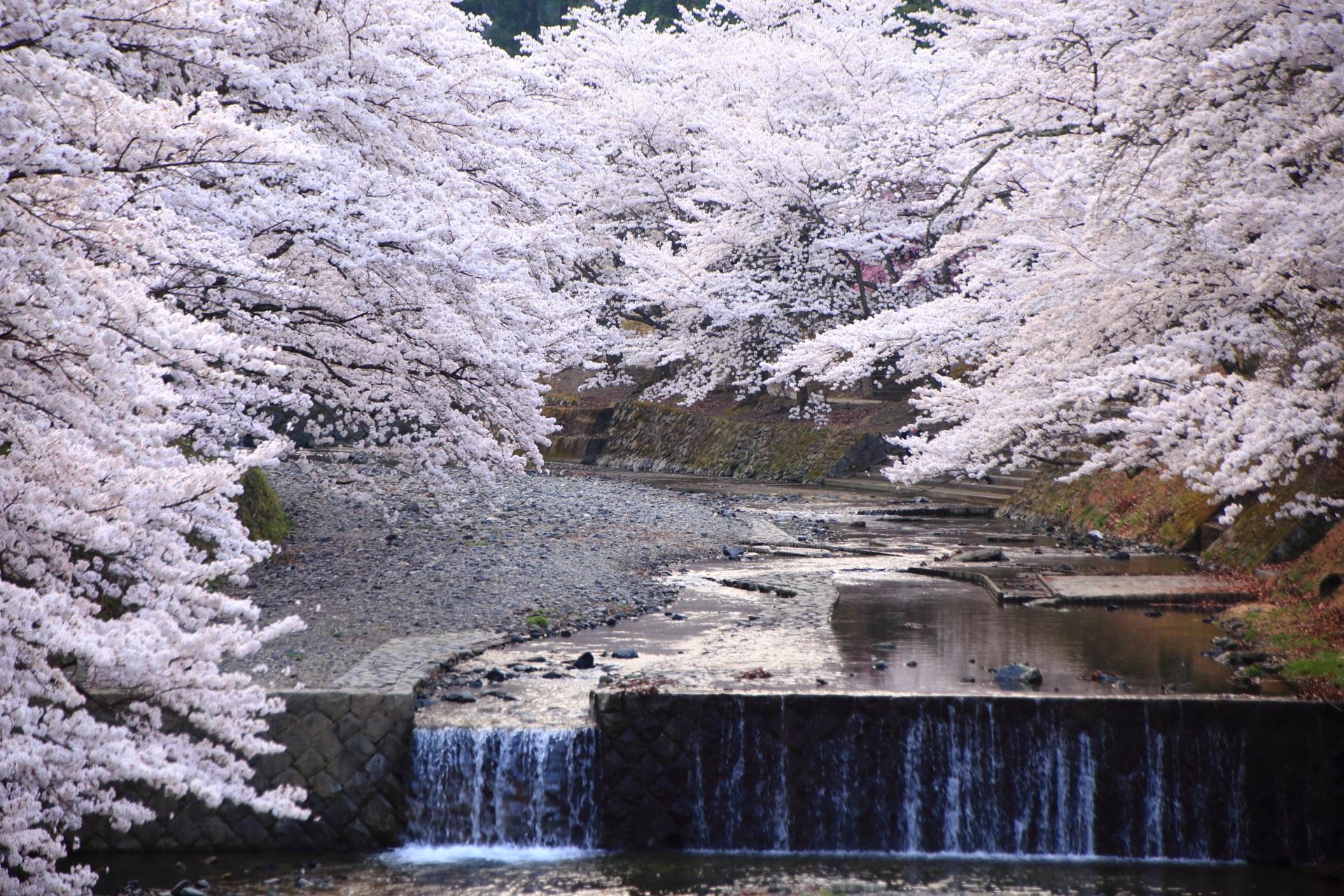 七谷川の極上の桜
