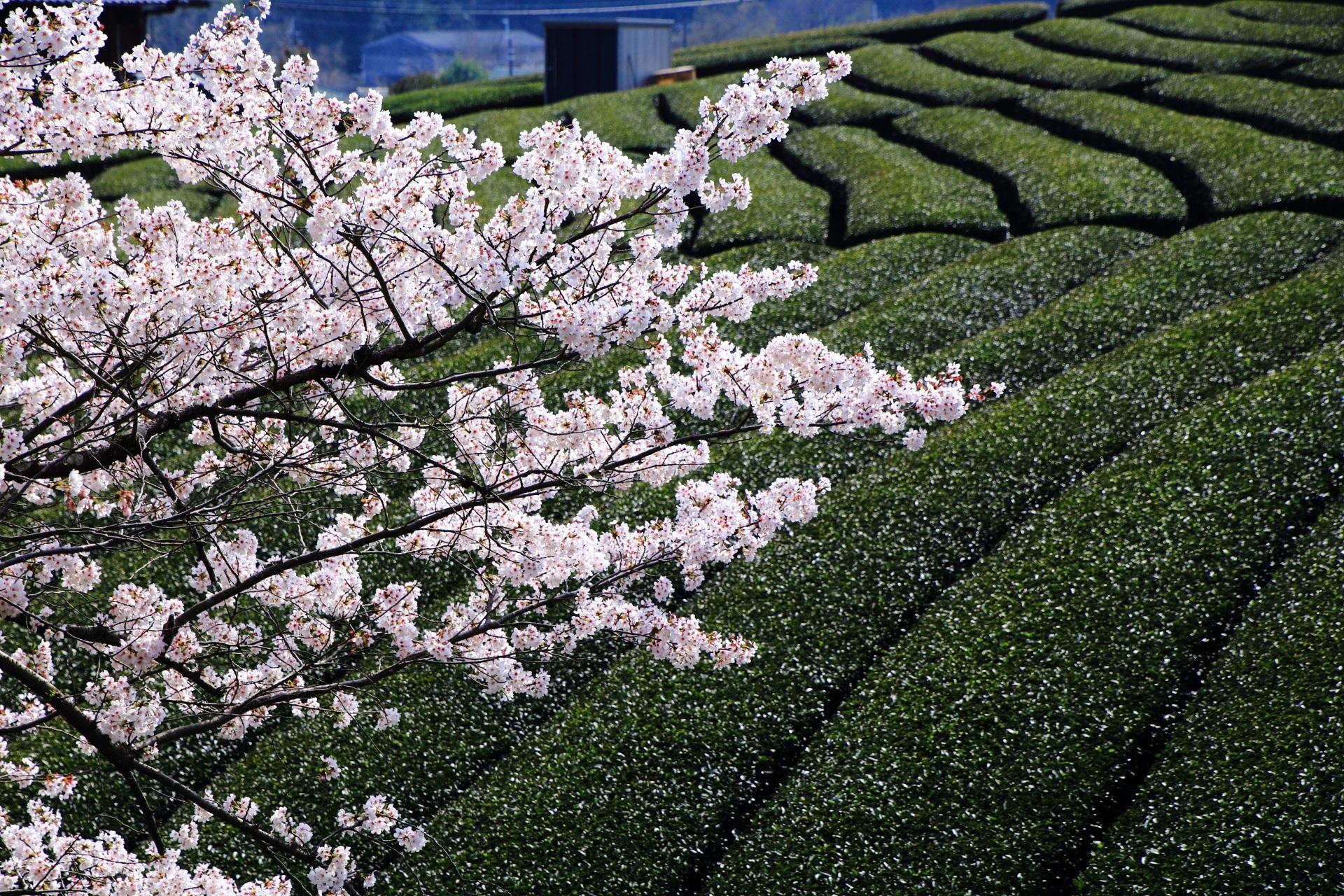 和束町の茶畑を彩る煌びやかな桜
