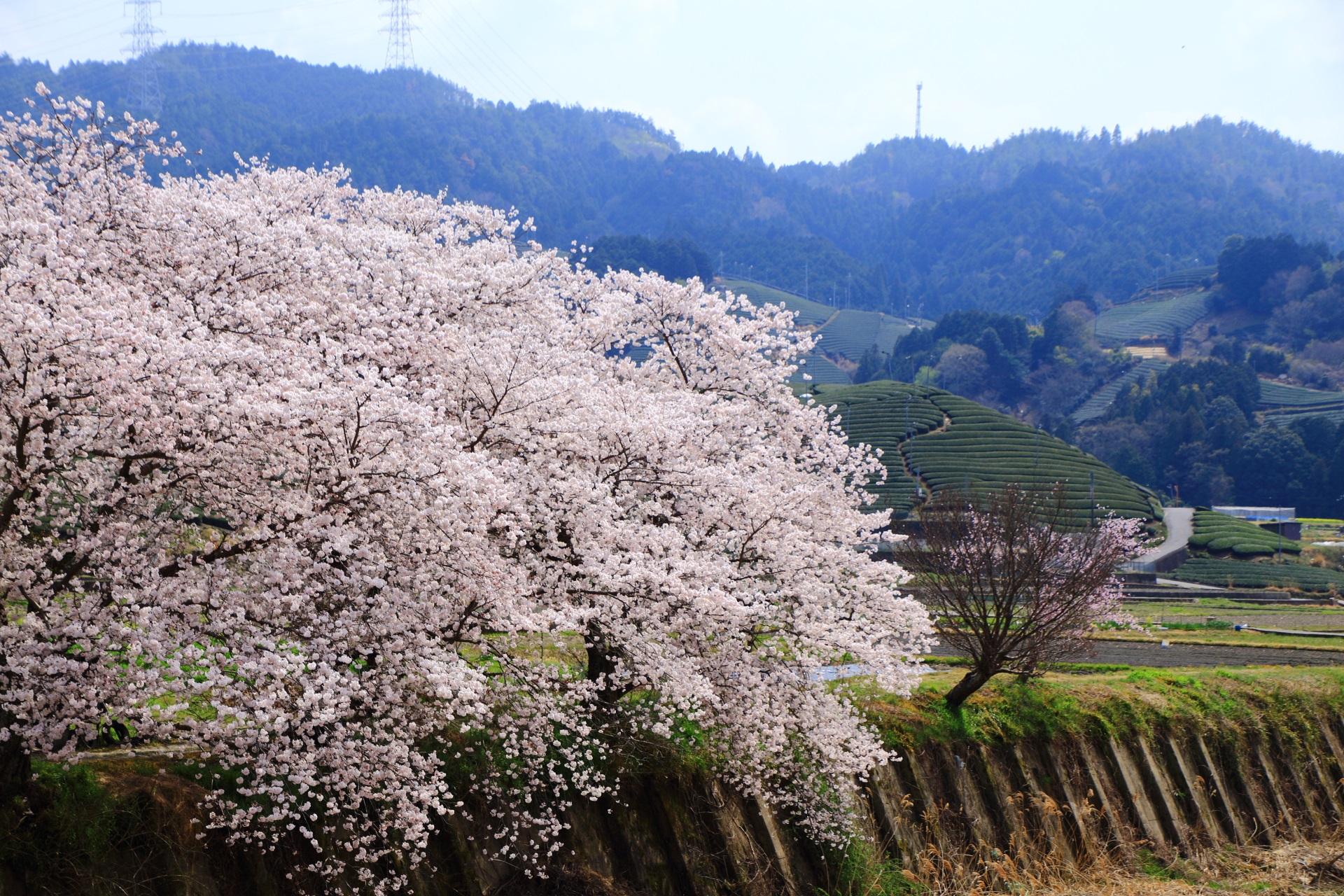 和束町の溢れる桜と茶畑